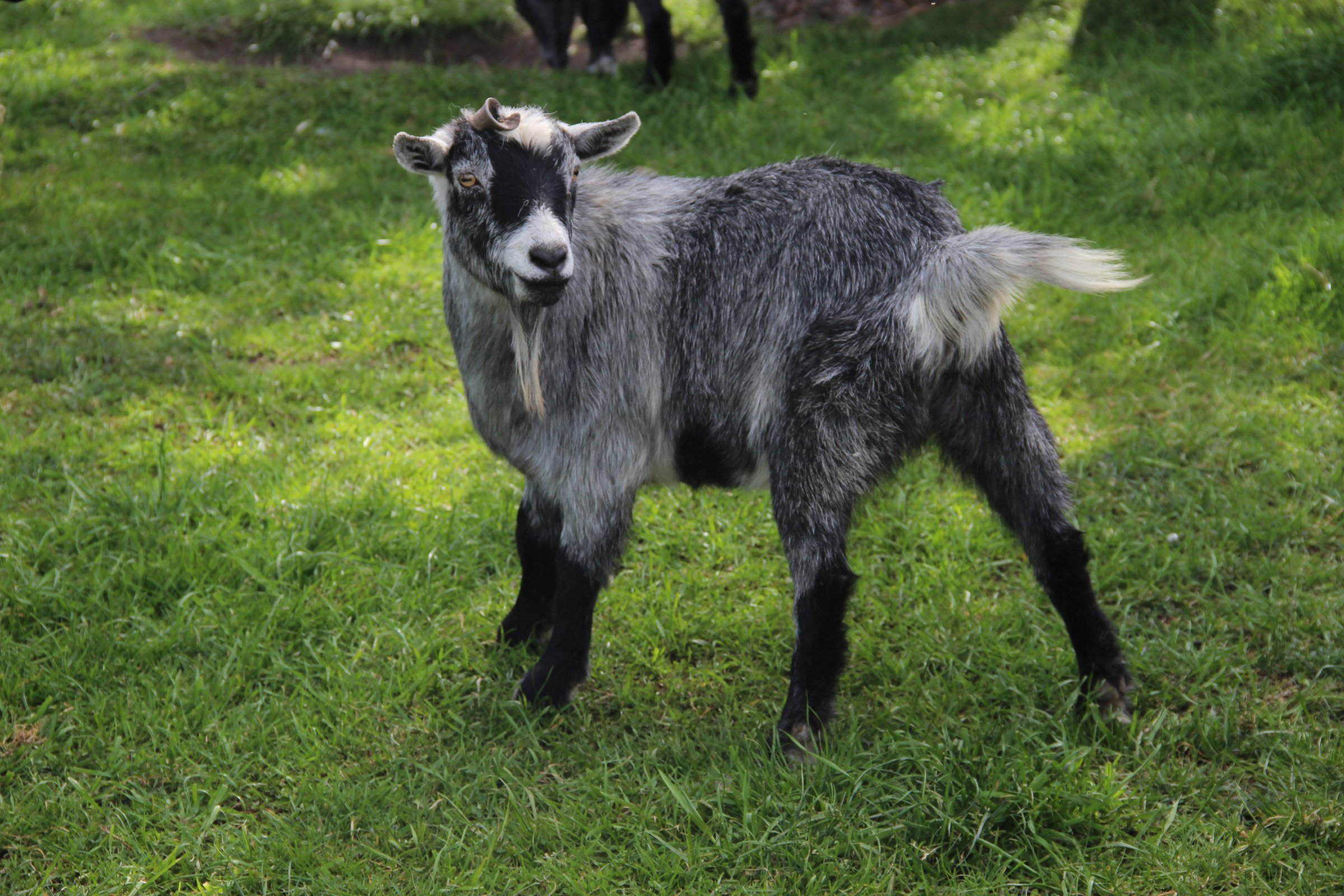 Free Stock Photo Of Gray Baby Goat On Green Grass