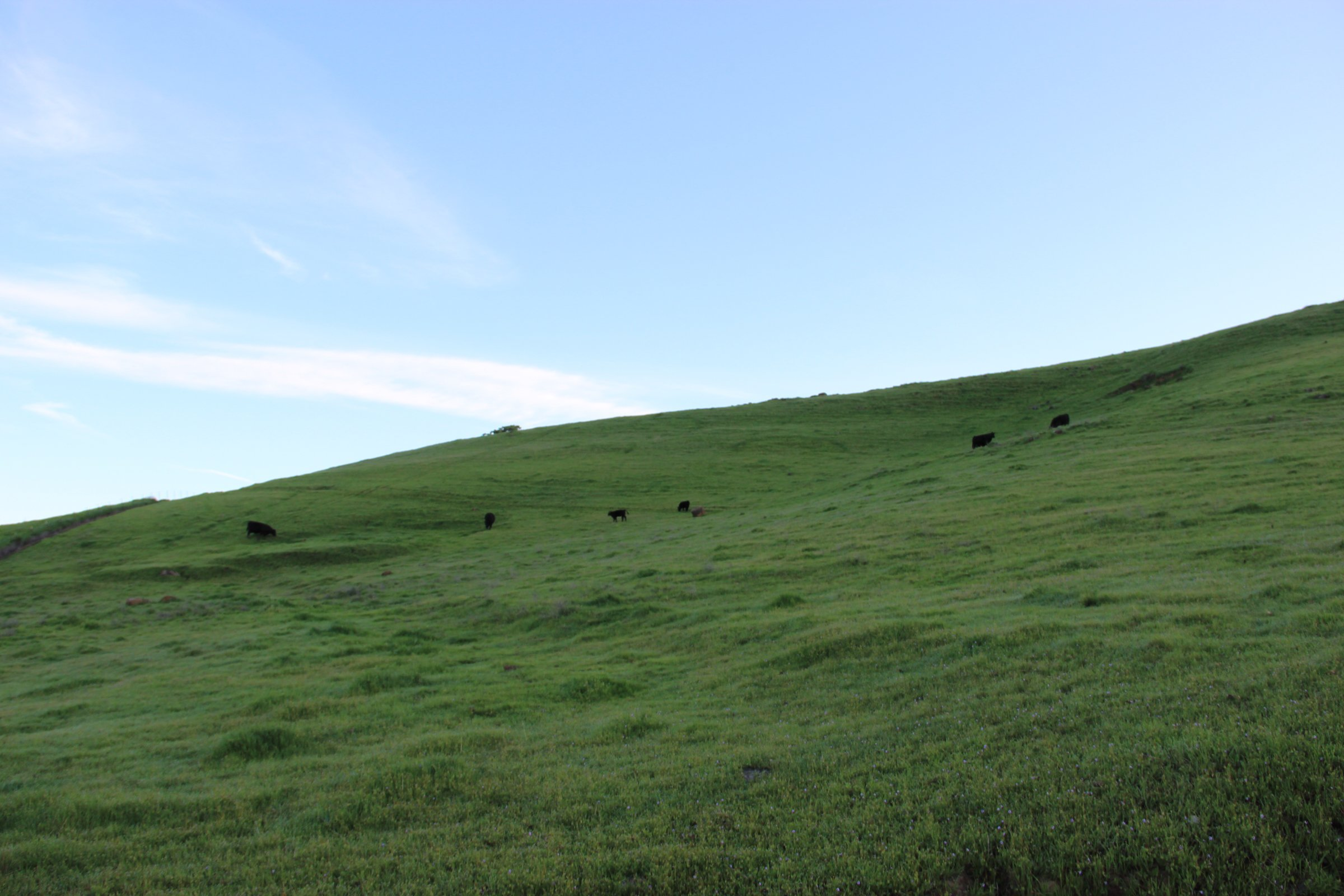 Green Hill with Cattle Under Blue Sky