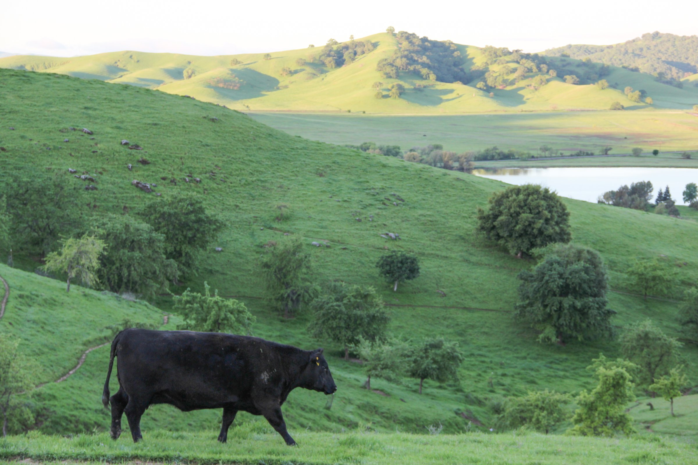 Black Cow Walking on Green Hills