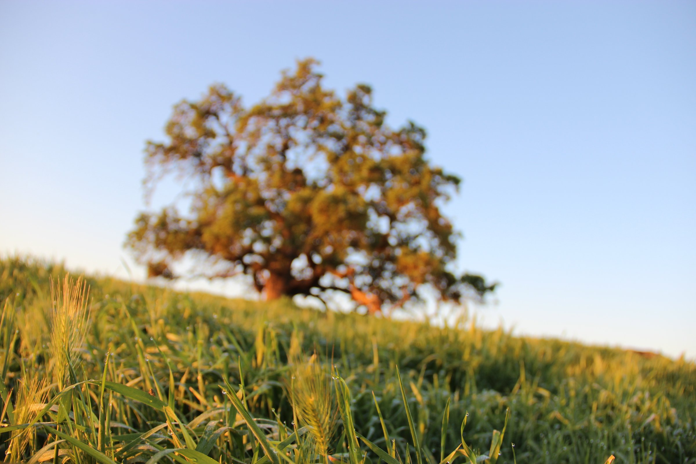 Grassy Hill with Large Tree
