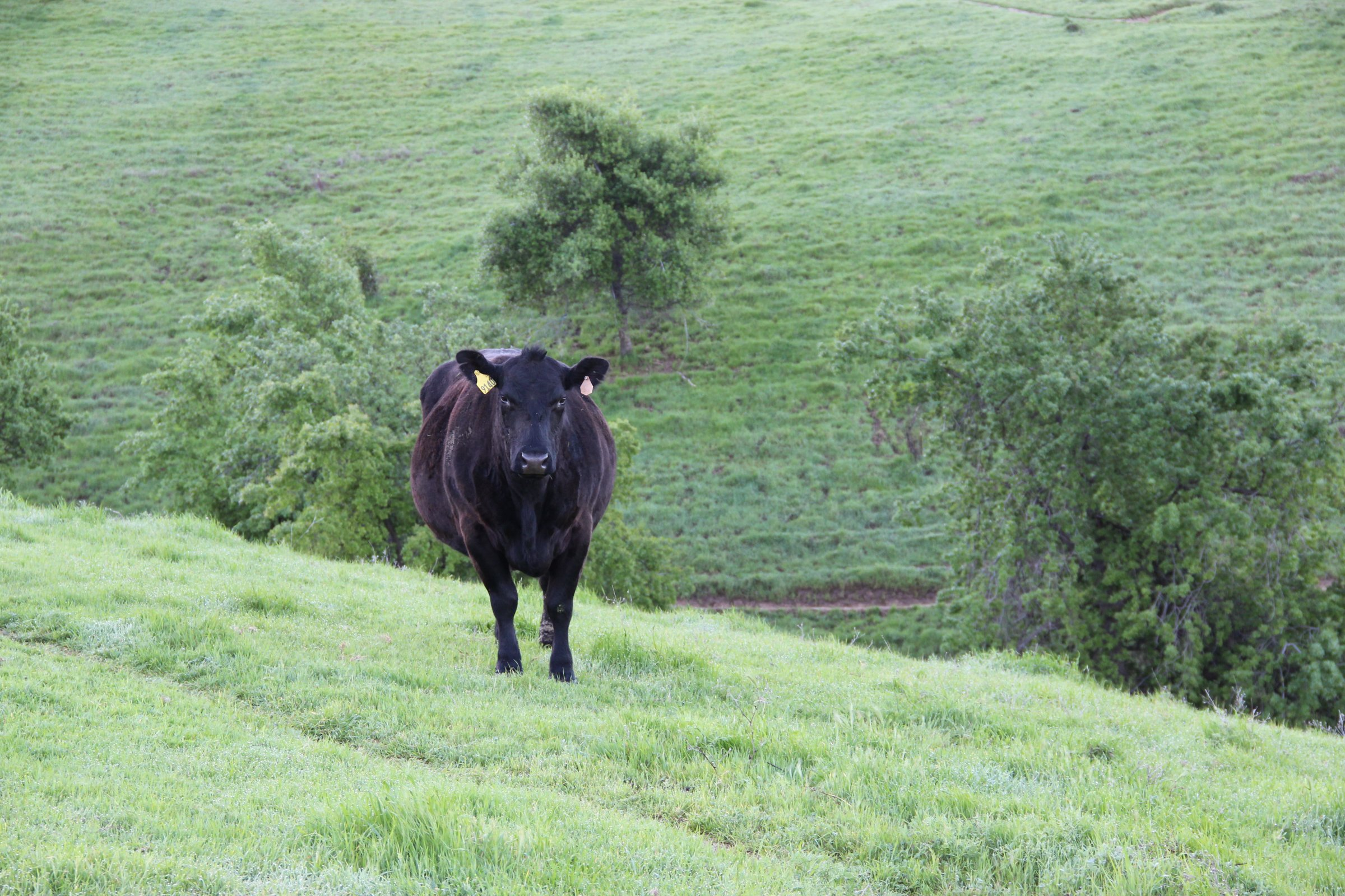 Black Cow Standing in Green Hills