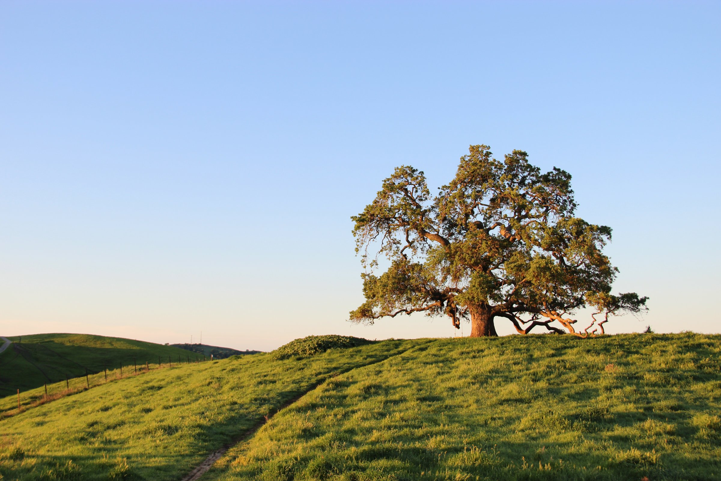Oak Tree in Field Under Clear Sky