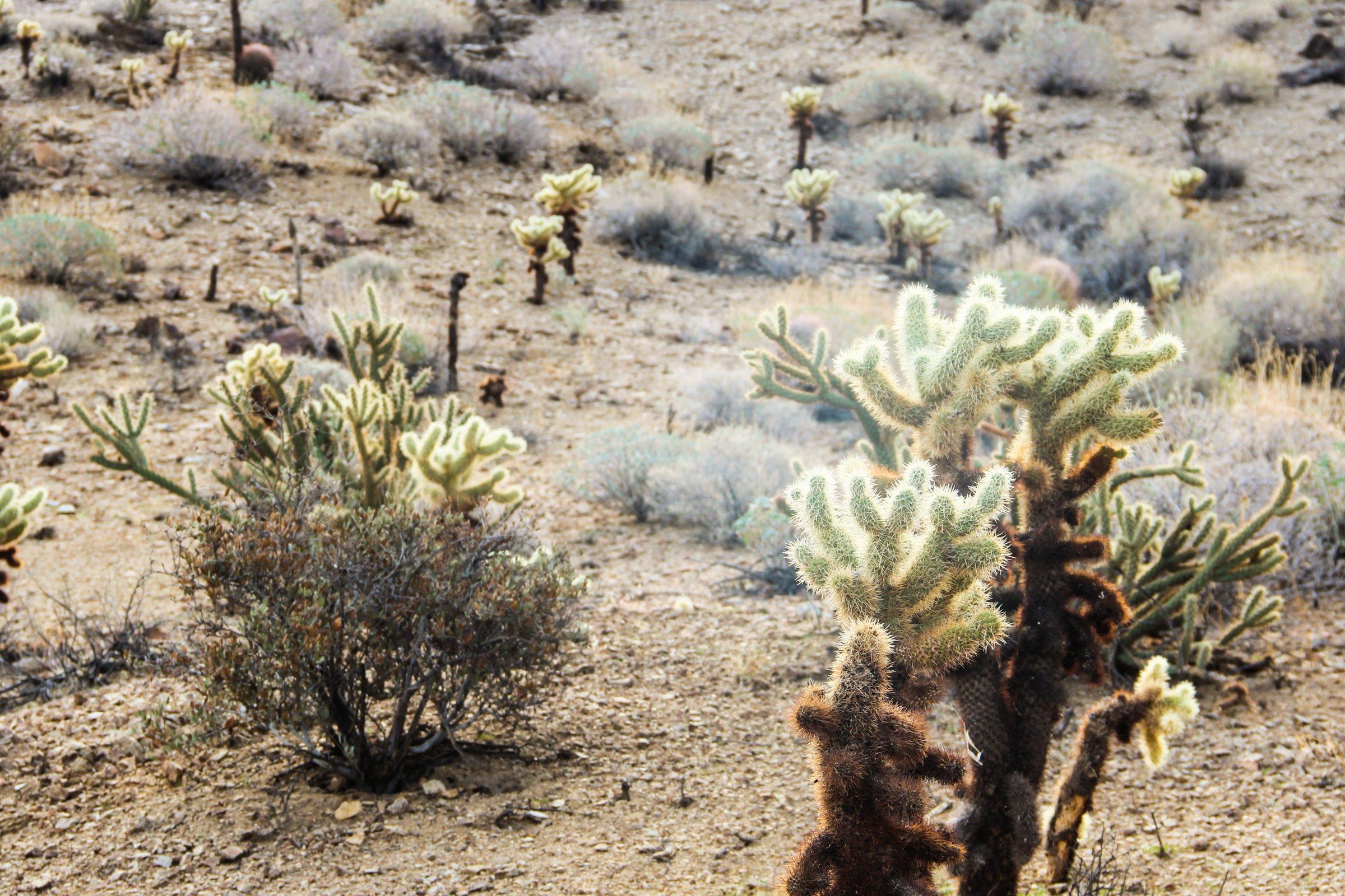 Cacti in Desert