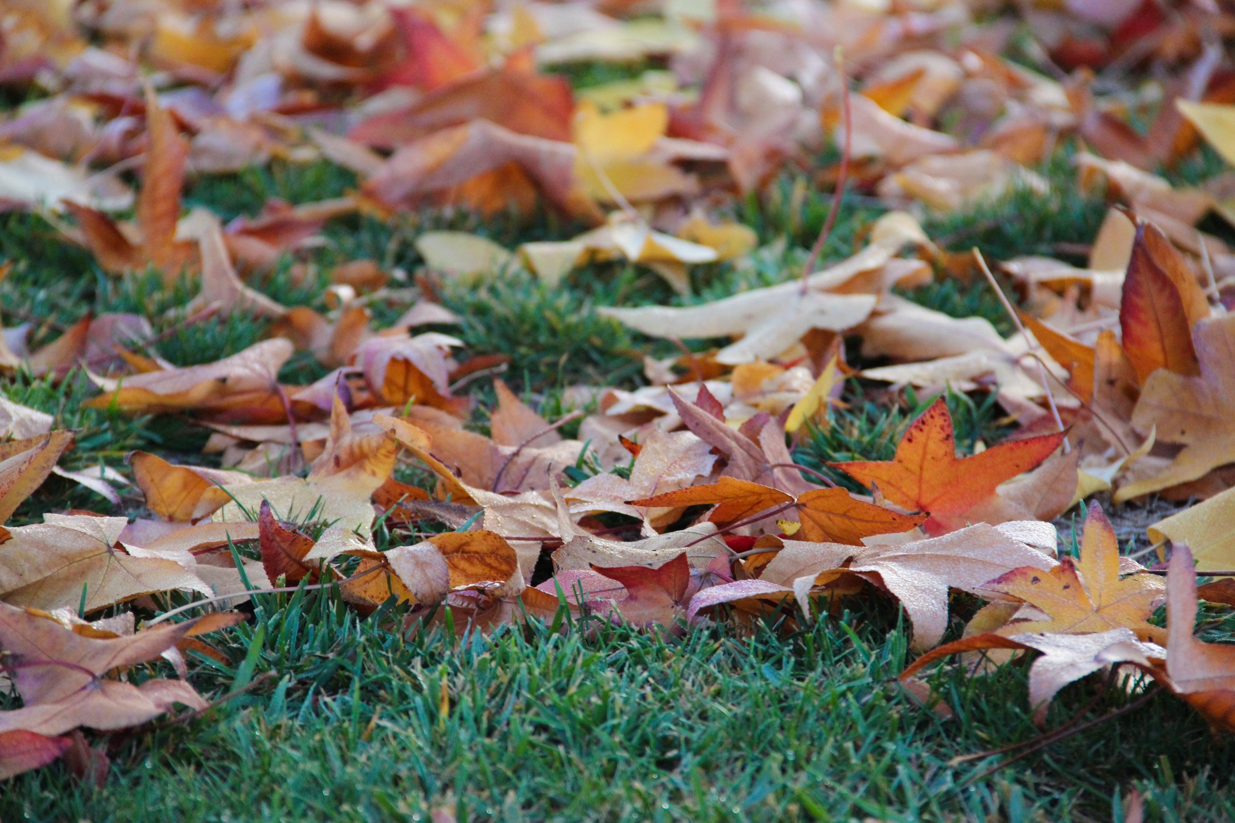 Dry Leaves on Grass
