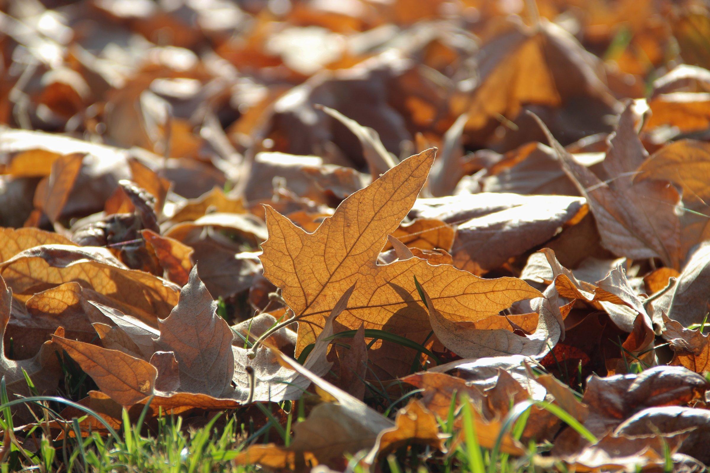 Dead Autumn Leaves On Grass