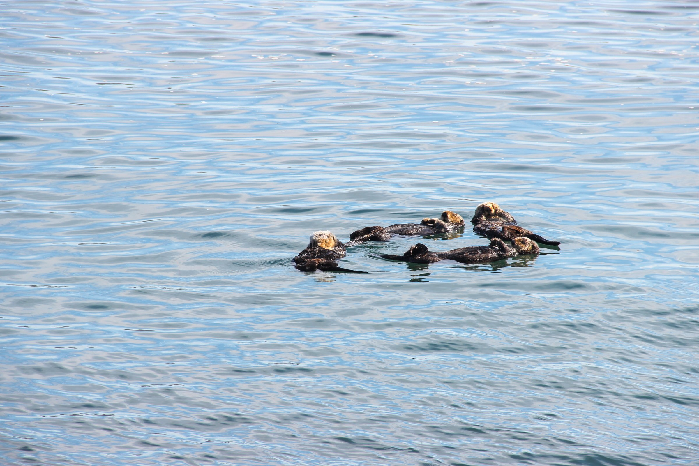Otters Swimming In Circle In Water
