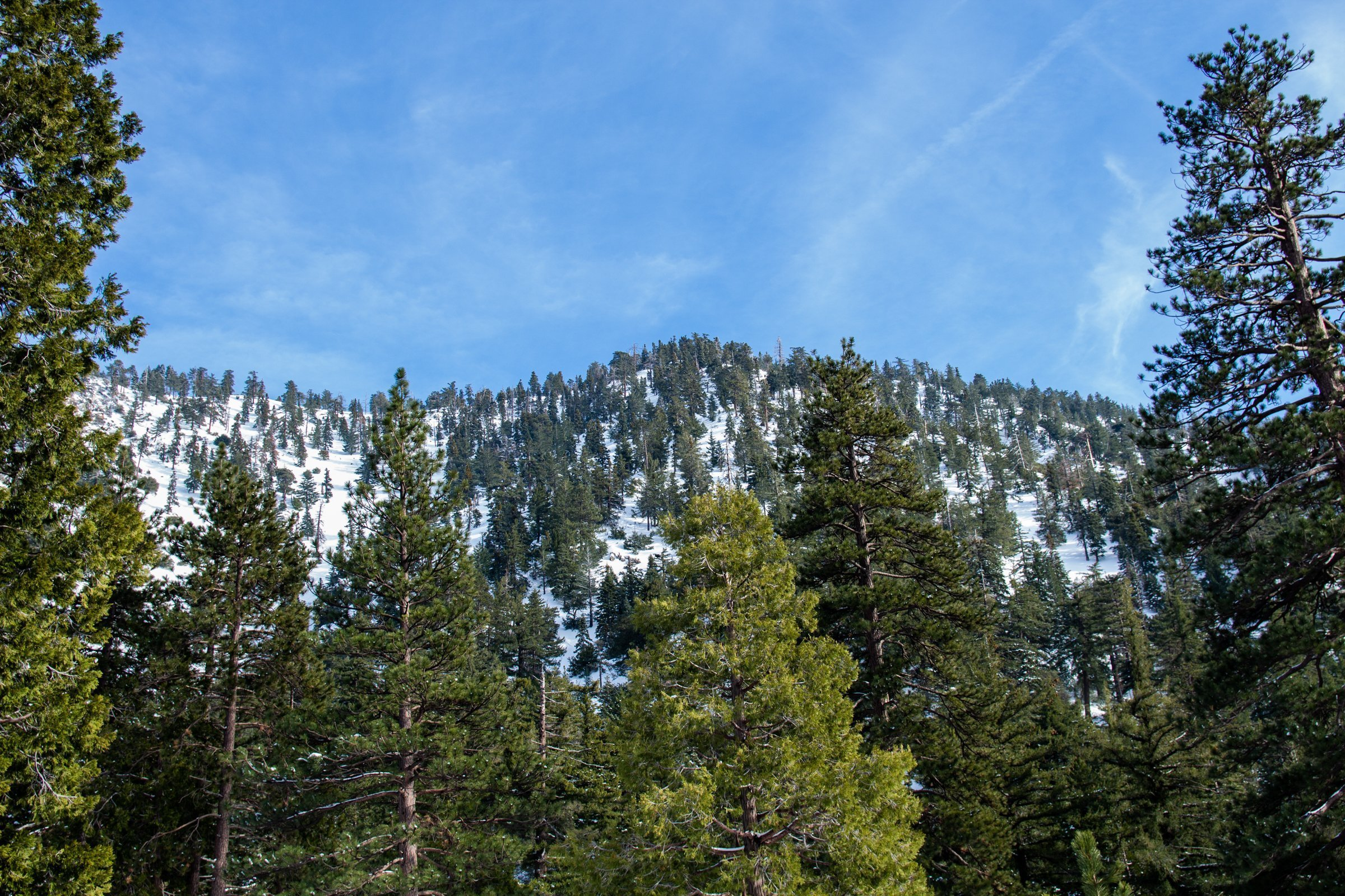 Pine Trees On Ice Covered Mountains