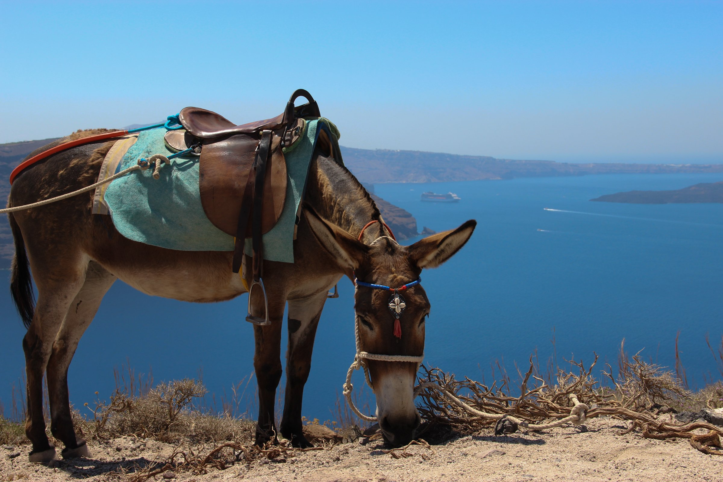 Saddled Donkey Grazing Near Cliff
