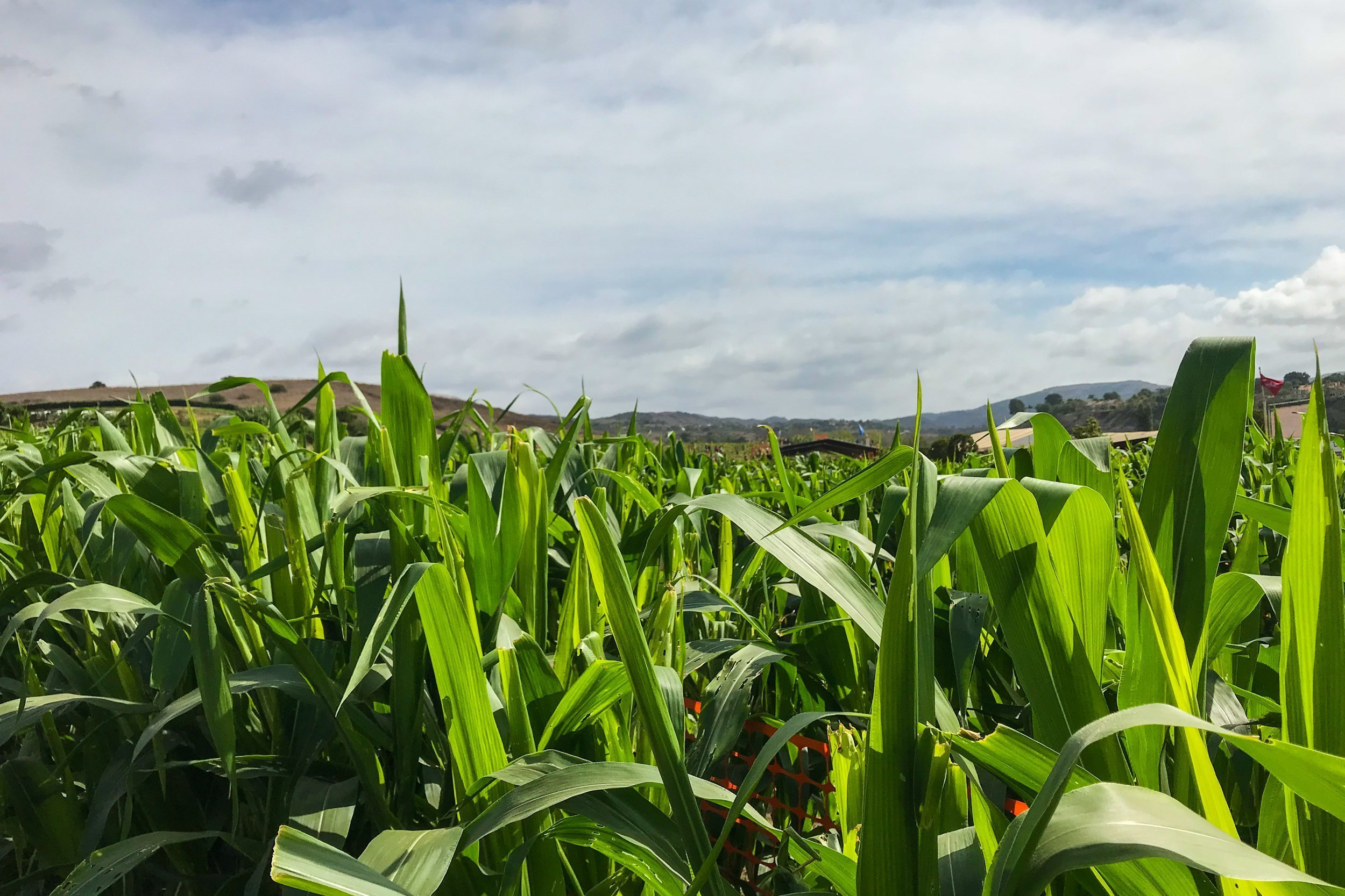 Corn Plants And Leaves In Field