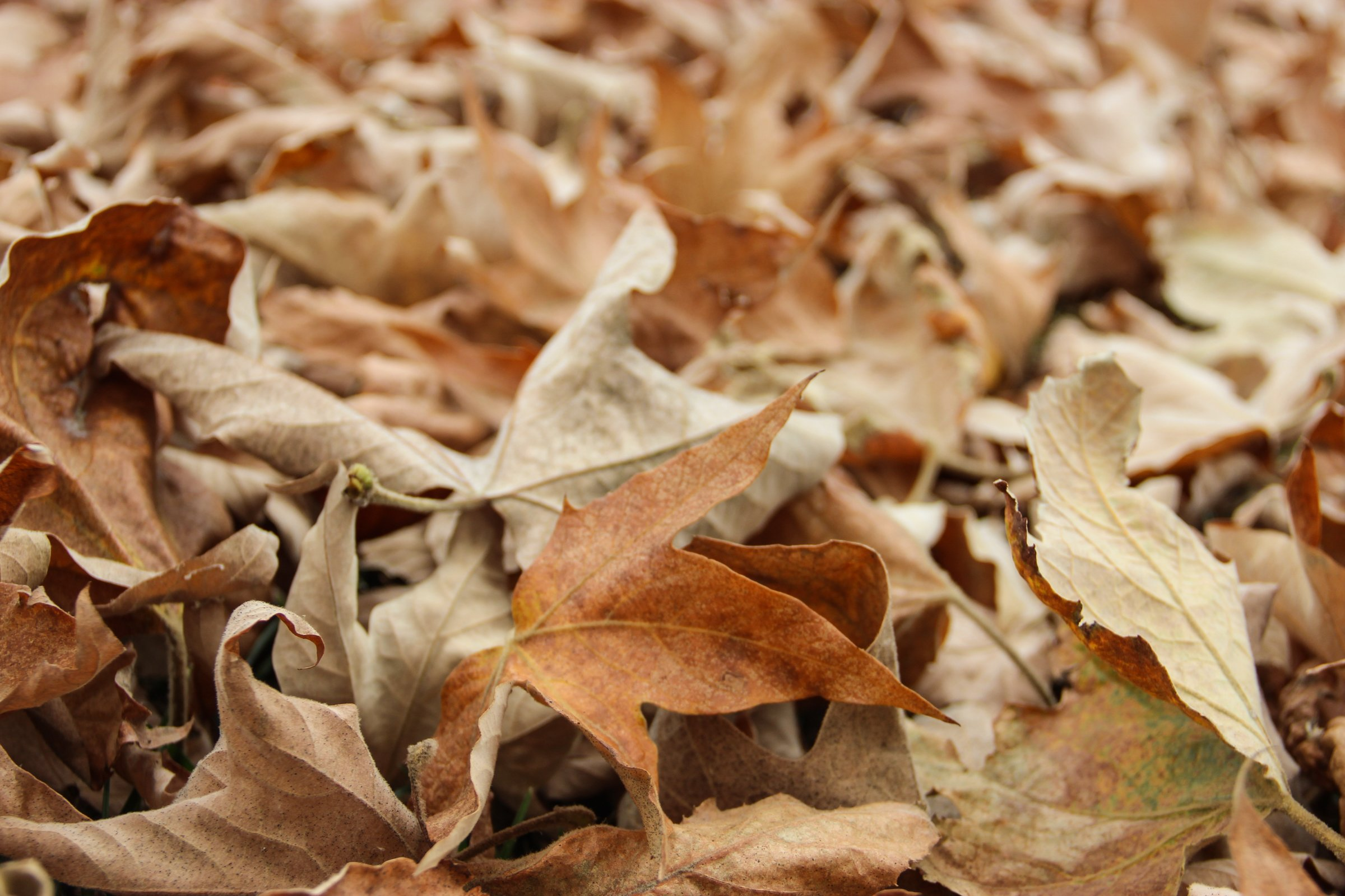 Close Up Of Pile Of Dry Leaves