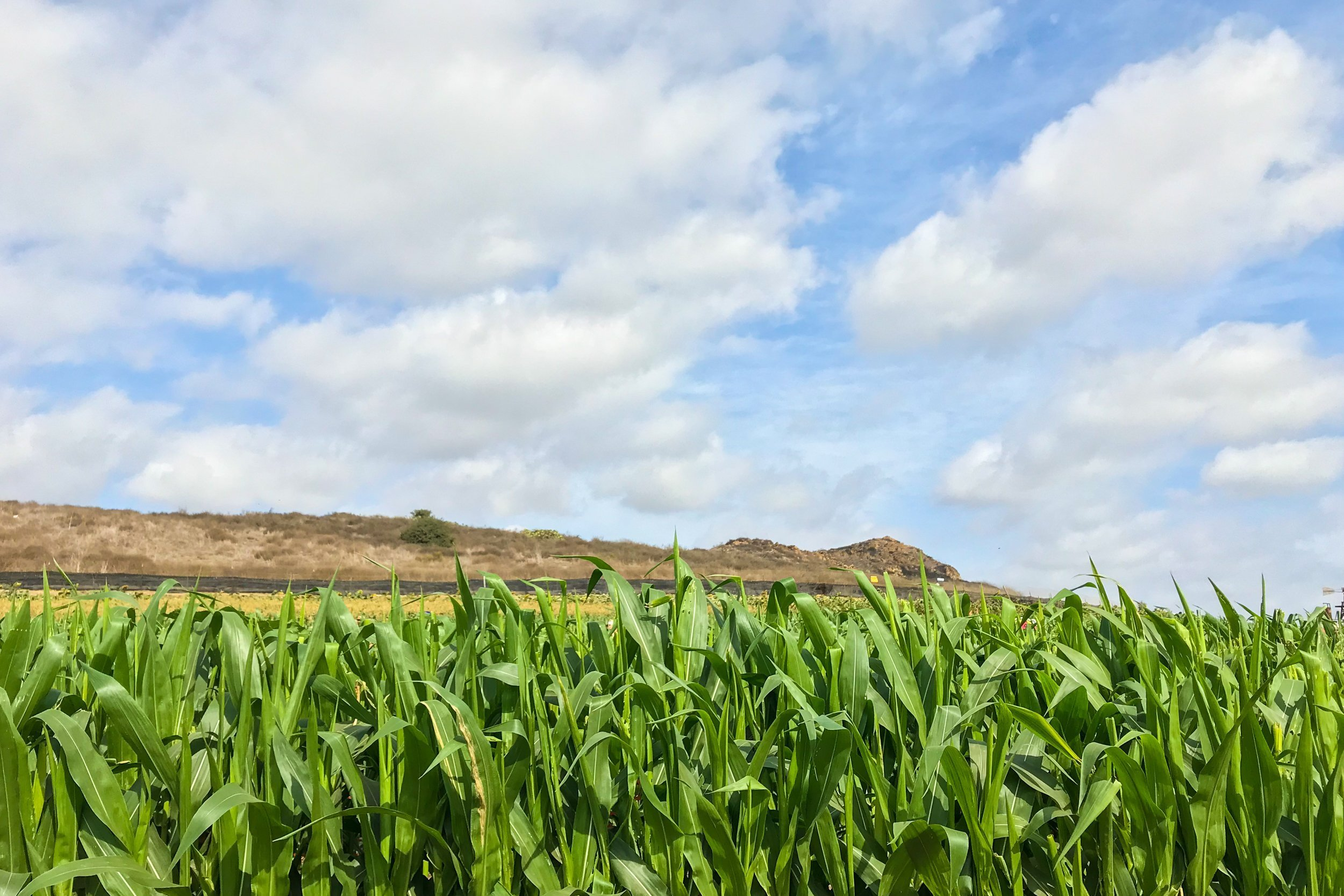 Cloudy Blue Sky Above Corn Plants Field