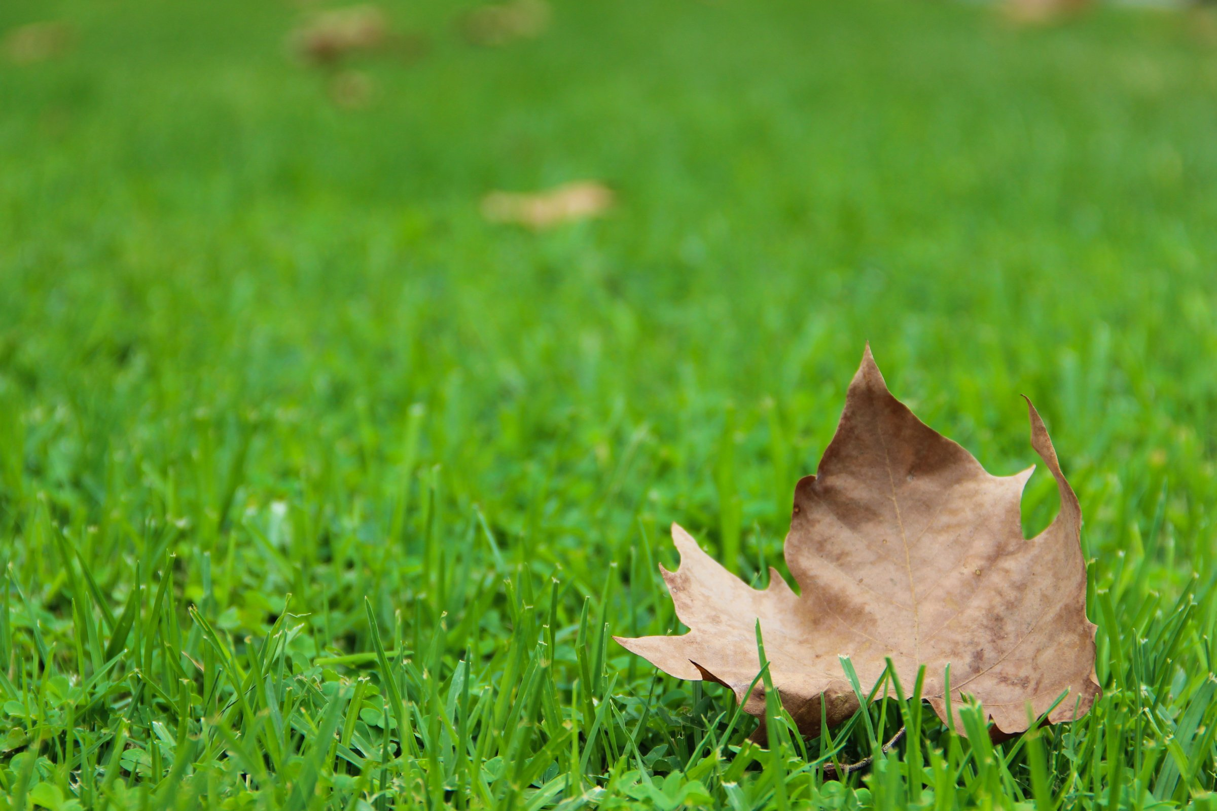 Dry Autumn Leaf On Green Grass
