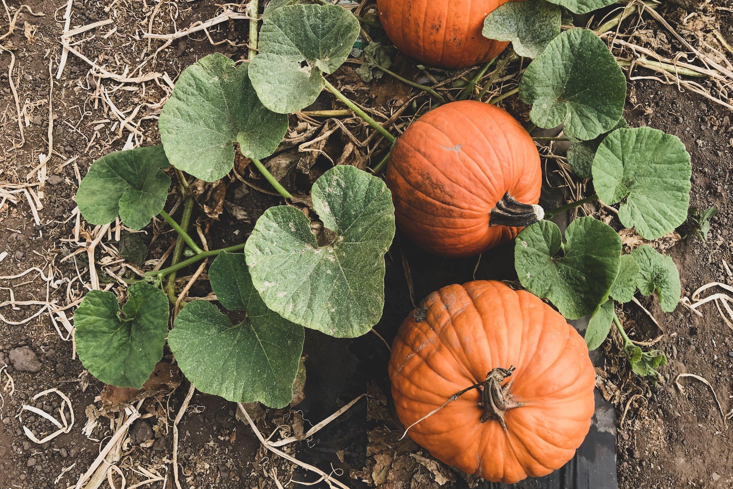 Three Pumpkins On Soil