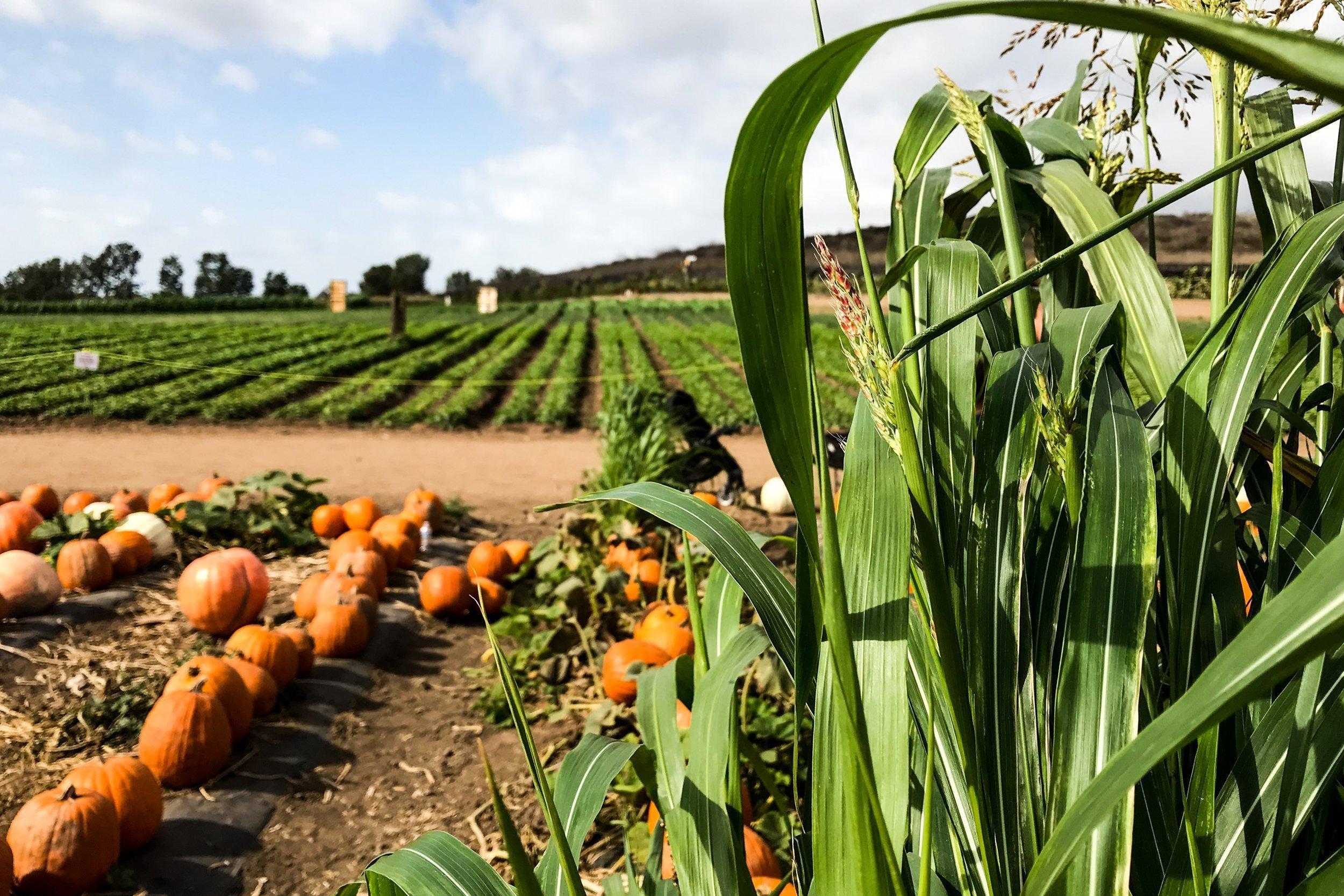 Harvested Pumpkins Near Fields