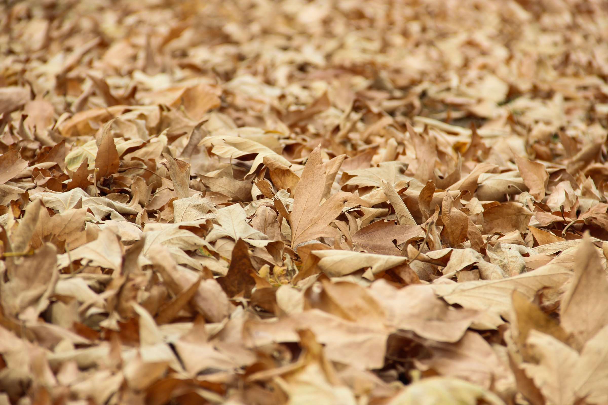 Unbroken Sheet Of Dry Fall Leaves