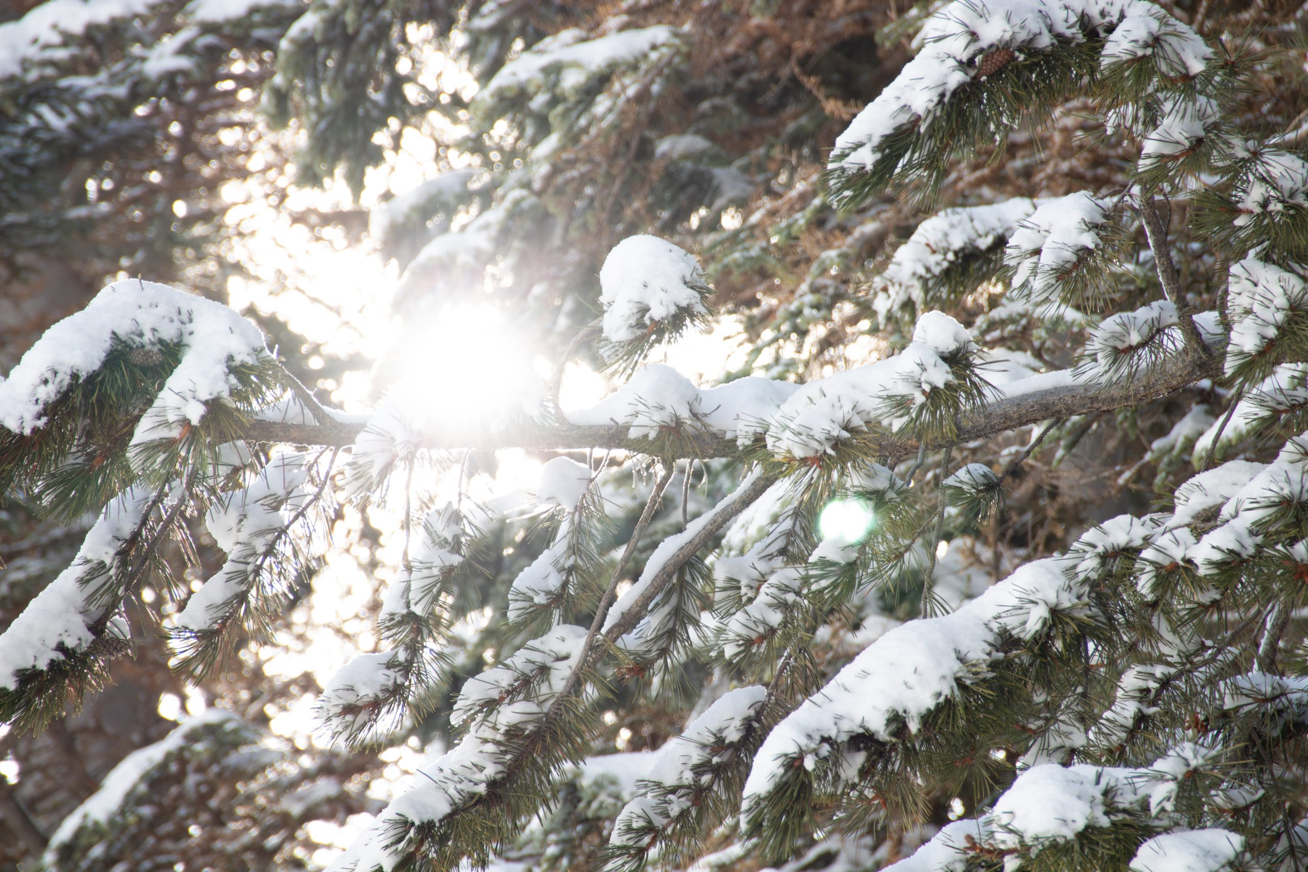 Snow On Coniferous Tree Branches