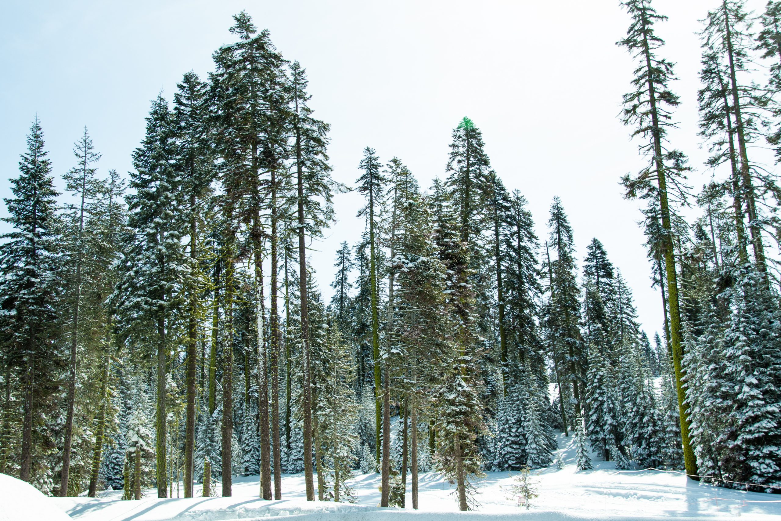 Tall Snow Covered Coniferous Trees In Forest