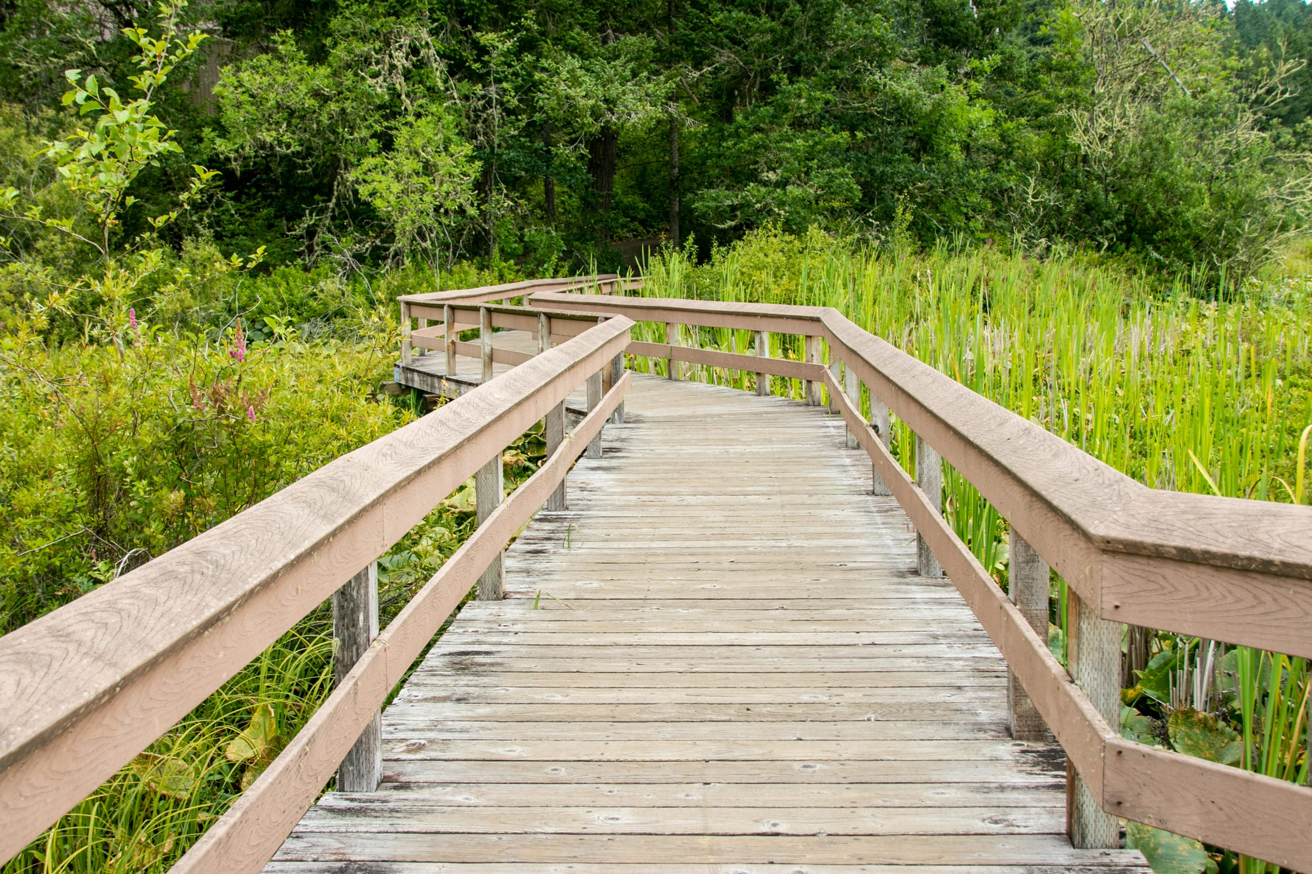 Boardwalk Surrounded By Tall Grass And Plants