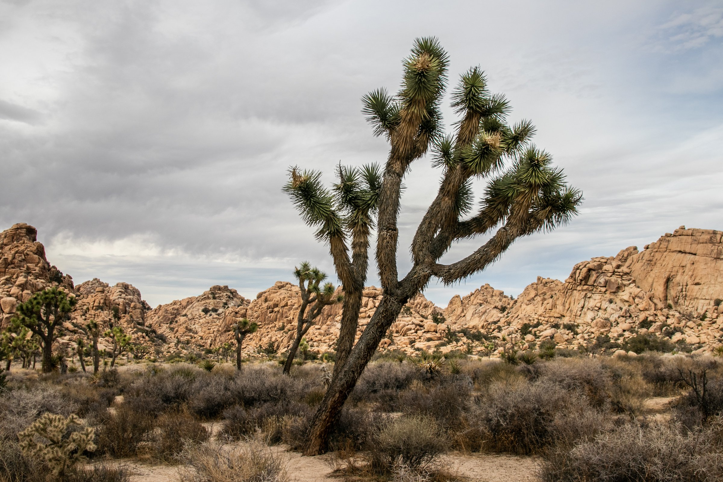 Joshua Trees In Desert