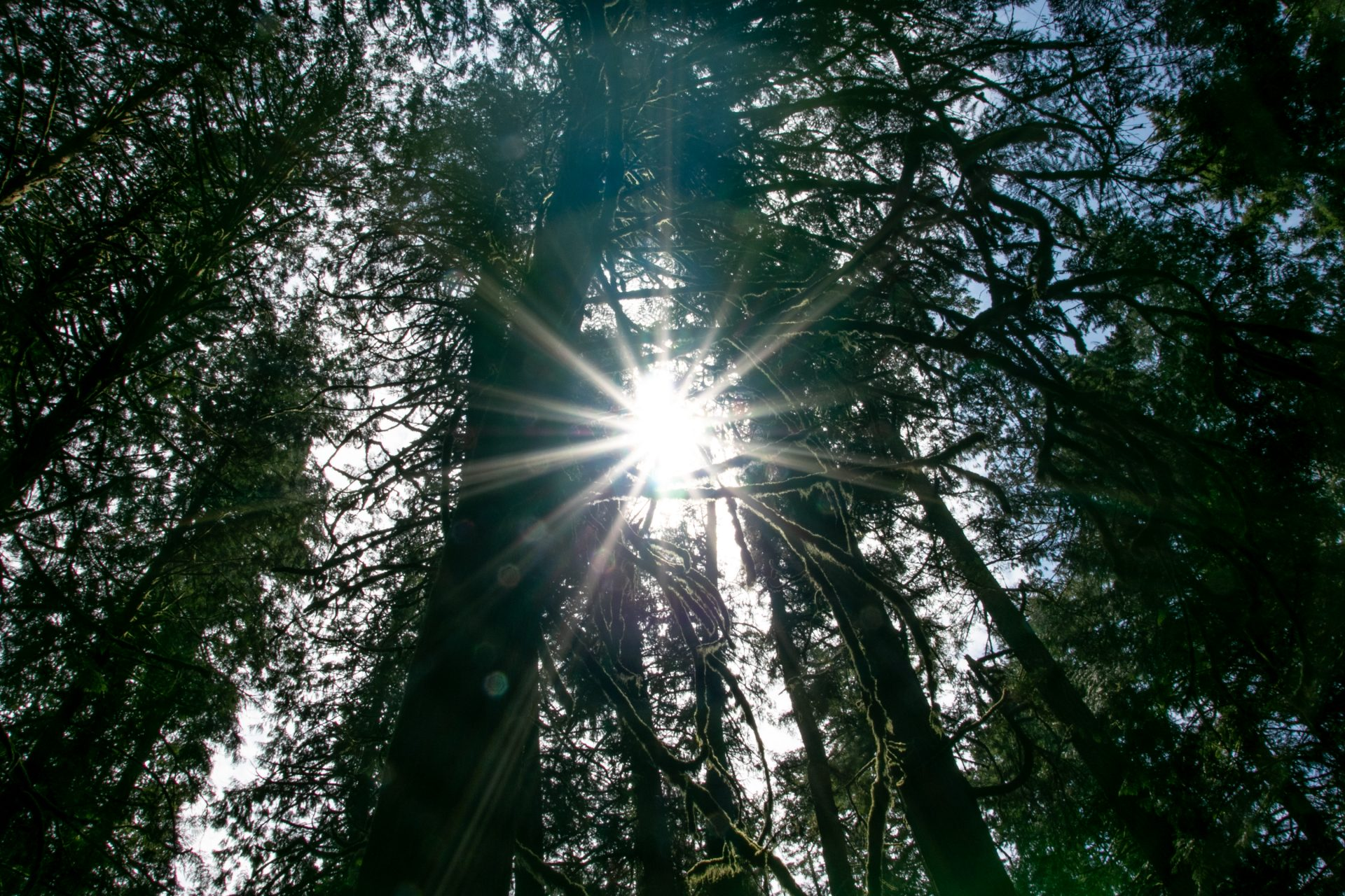Sun Rays Through Tall Trees And Branches