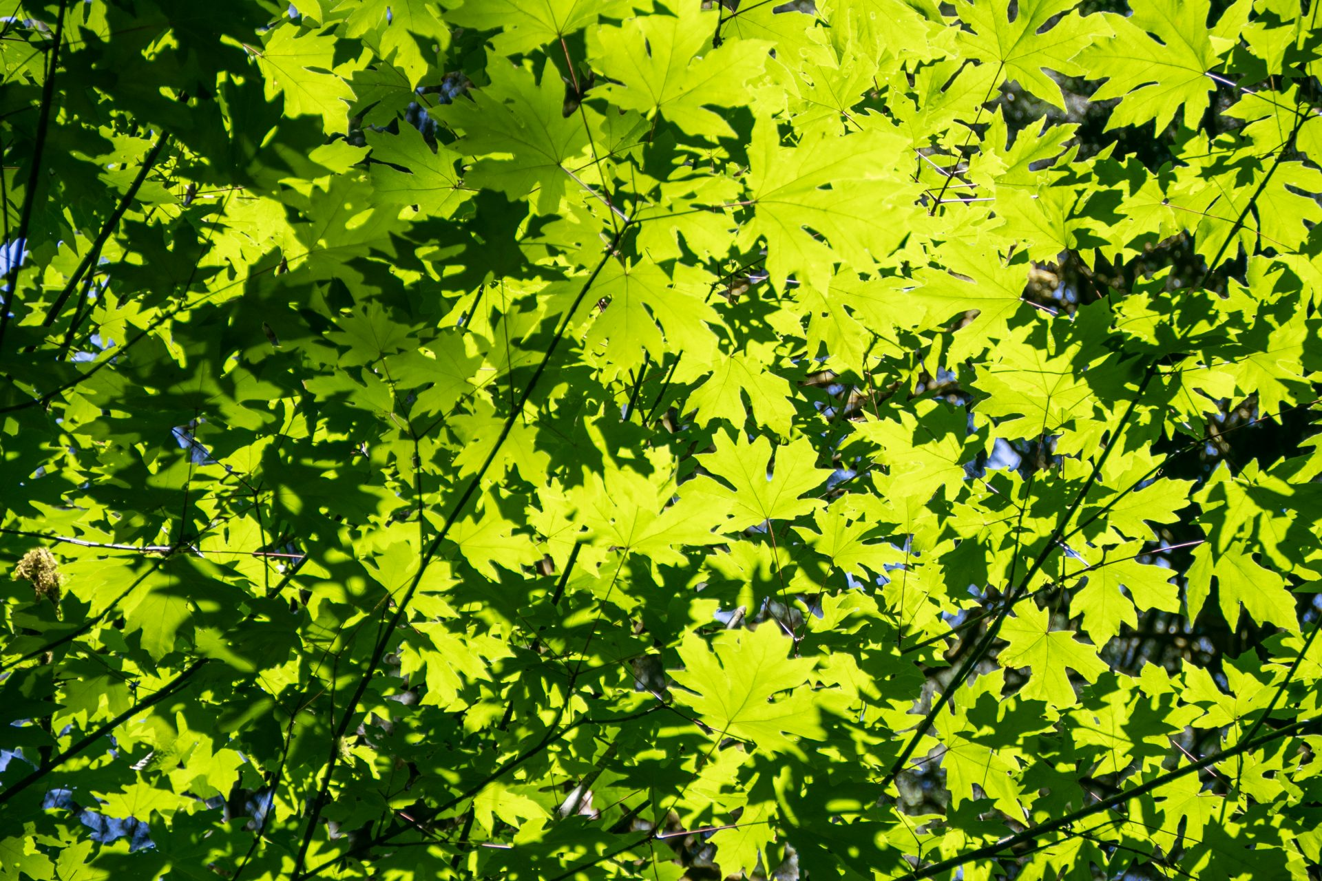 Sunlit Green Tree Leaves