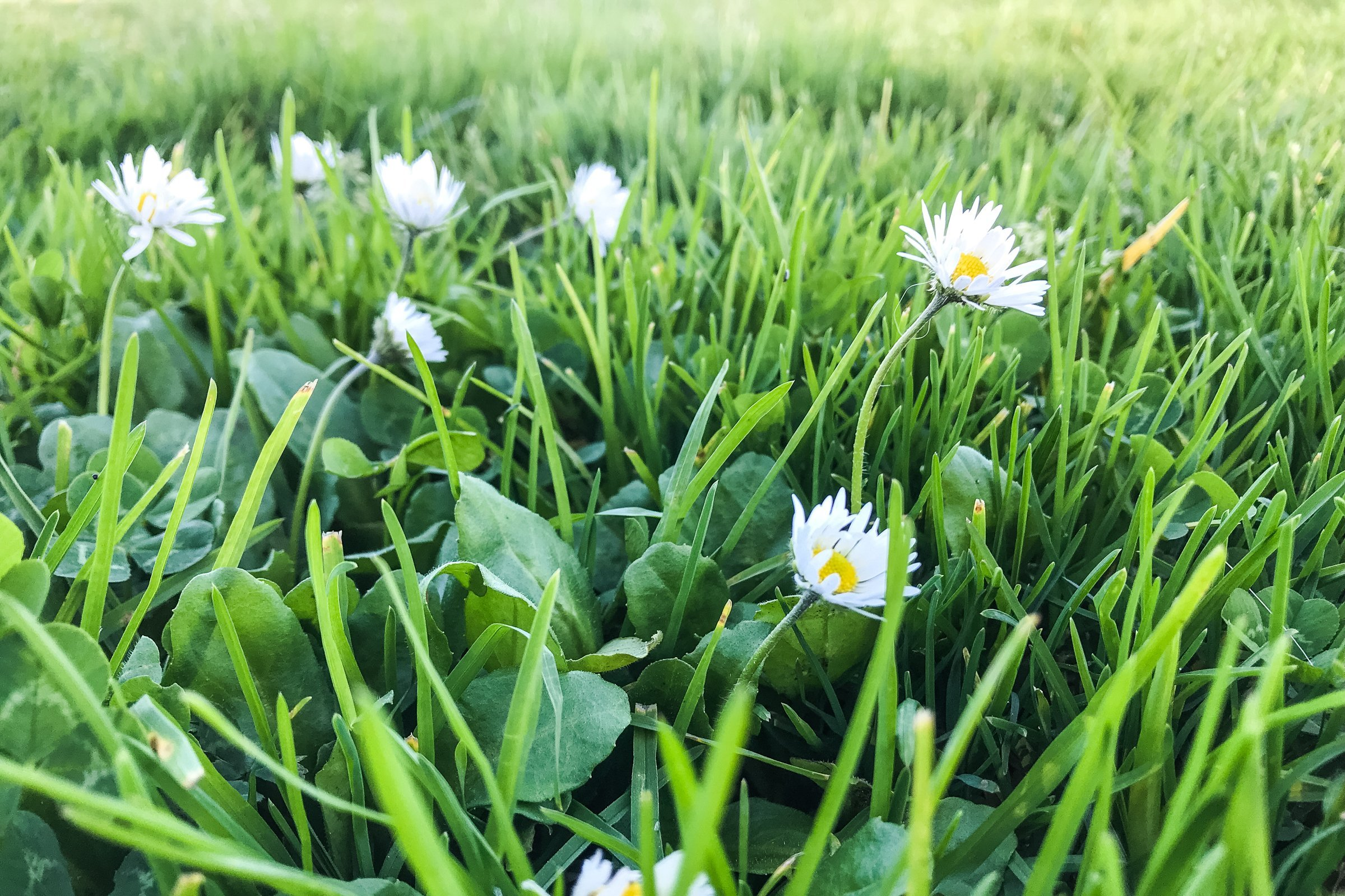 White Daisies Among Grass Leaves