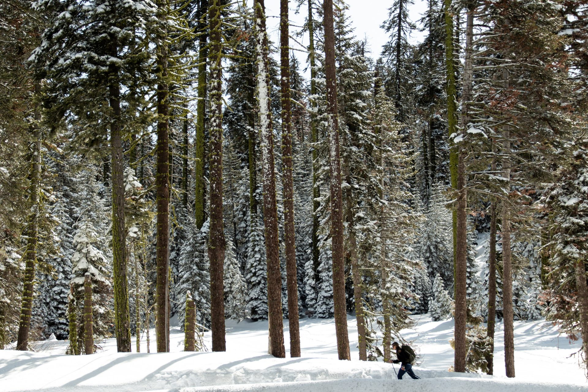 Woman Hiking In Snow Near Tall Trees