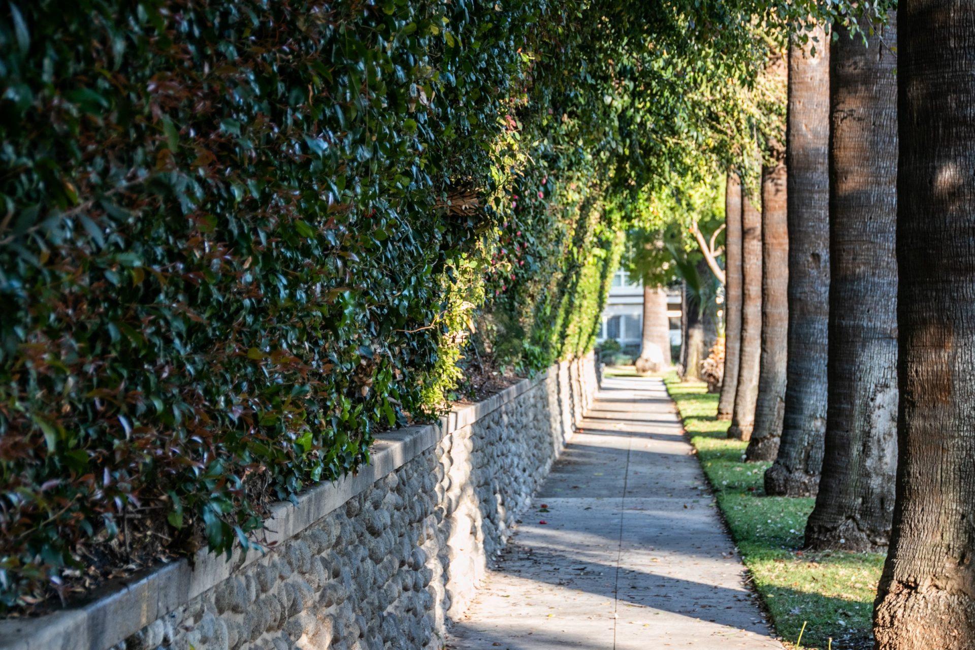 Sidewalk Between Trees And Hedge Wall