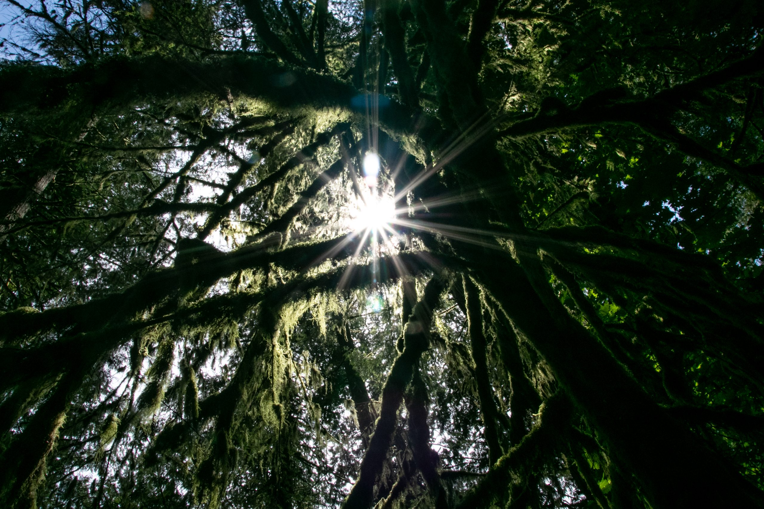 Sun Rays Through Thick Intertwined Tree Branches