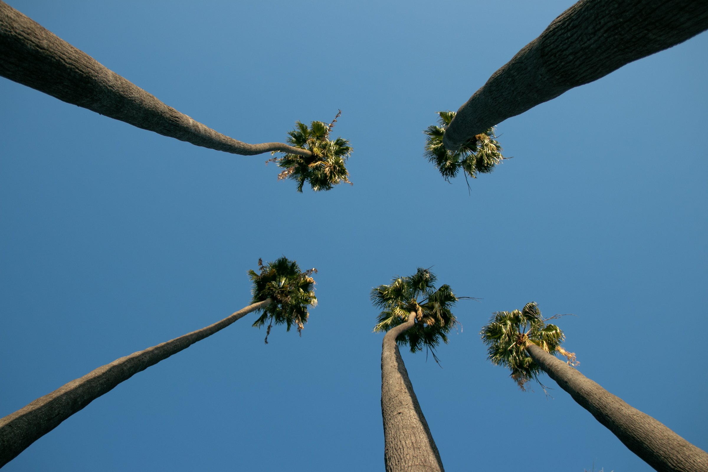 Tall Palm Trees Against Clear Blue Sky