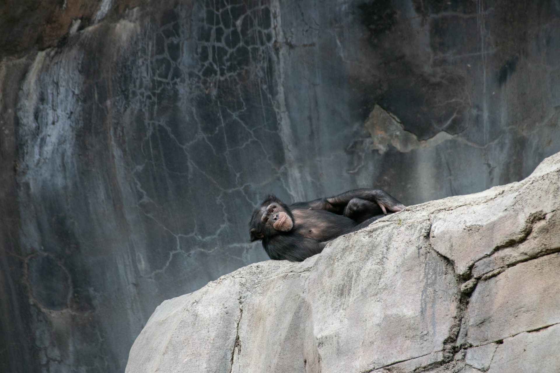 Chimpanzee Lying On Big Rock