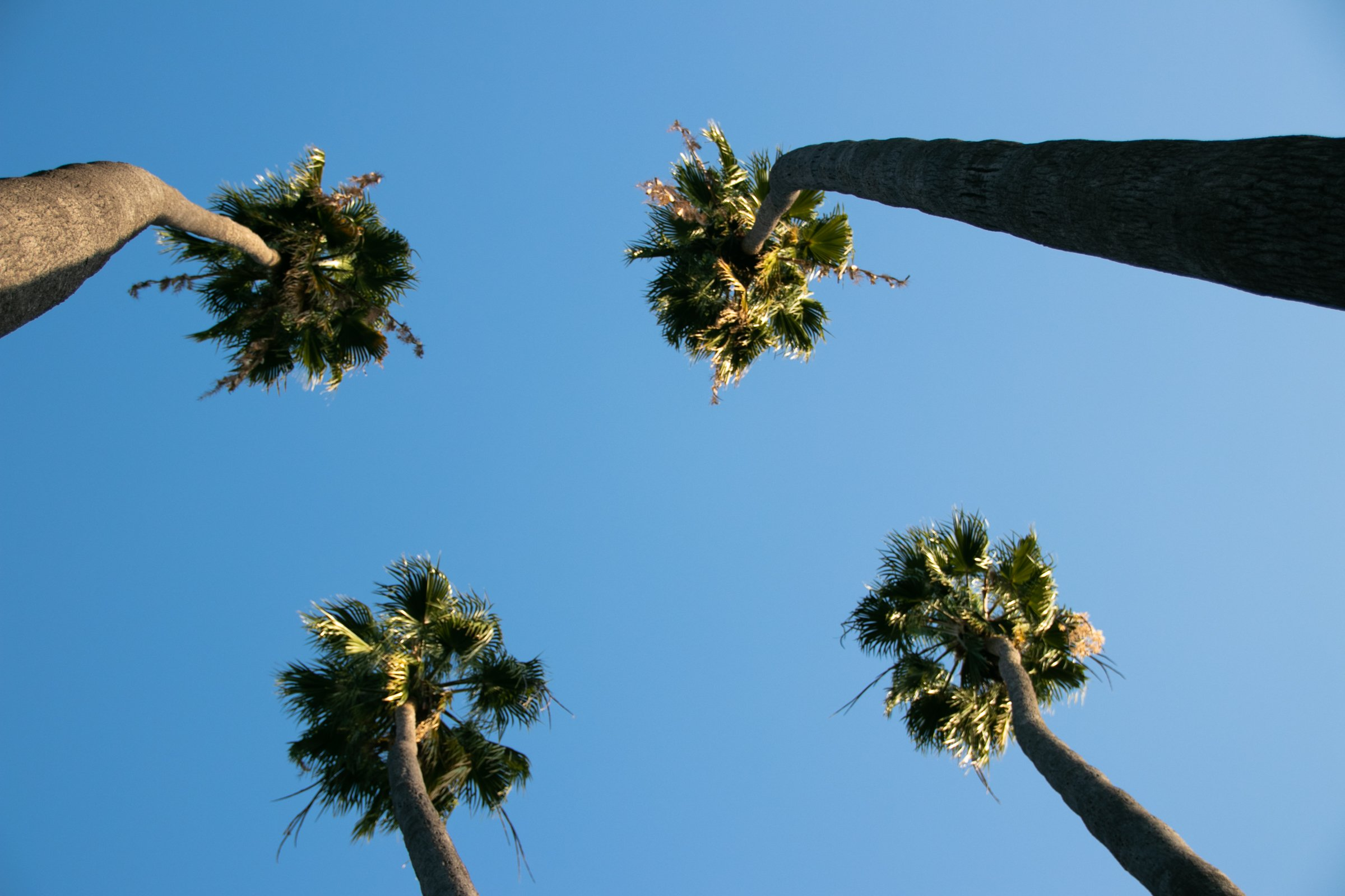 Four Tall Palm Trees Under Blue Sky