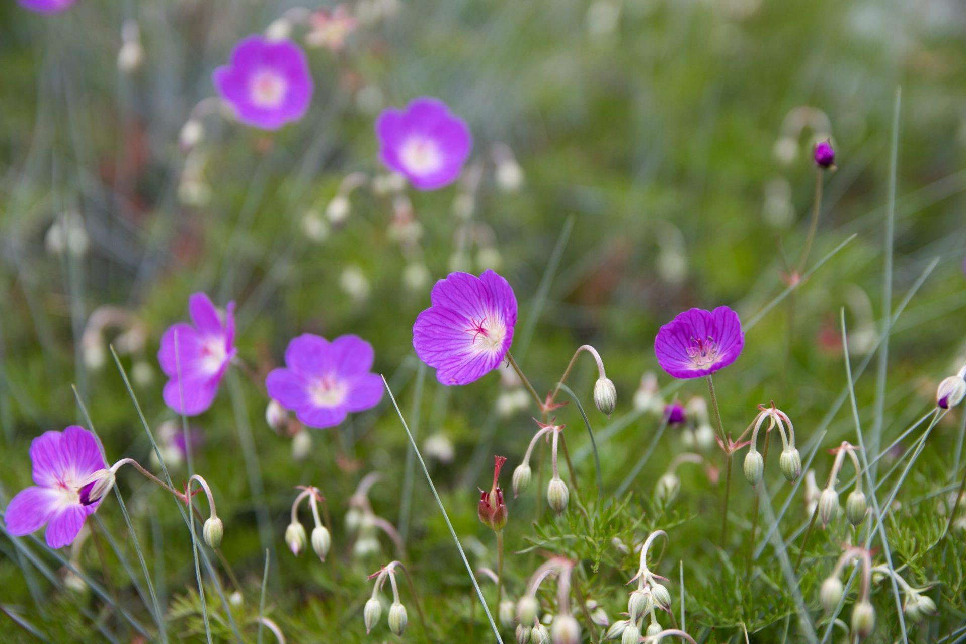 Closeup Of Violet Flowers