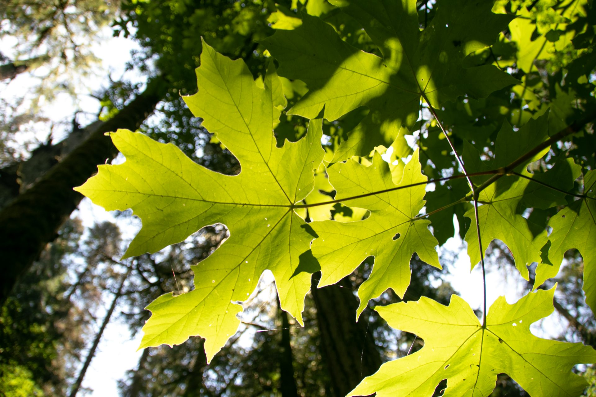 Light Through Maple Shaped Leaves