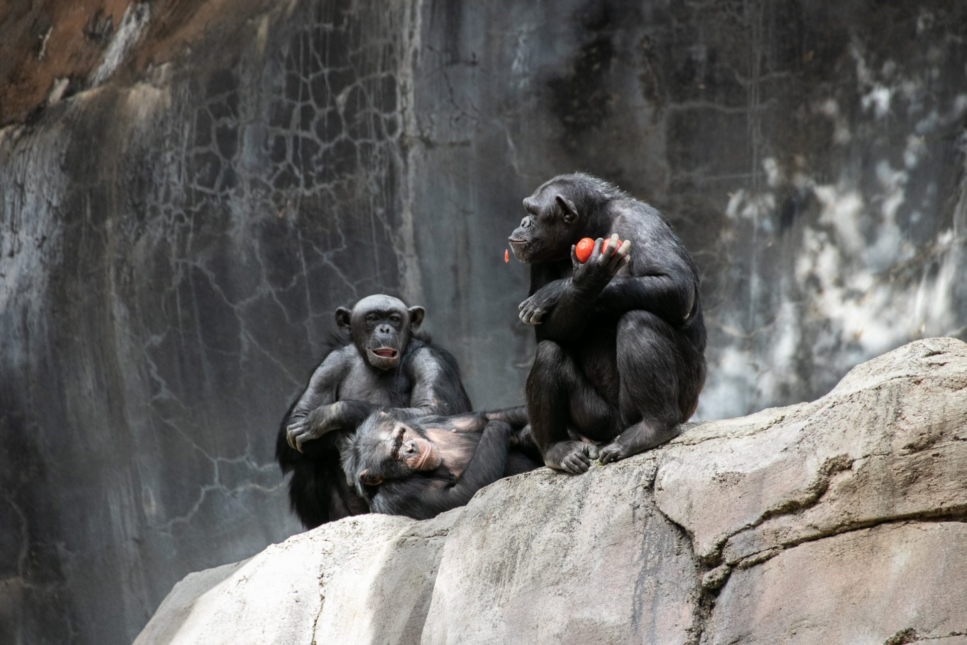 Three Apes Sitting On Big Rock