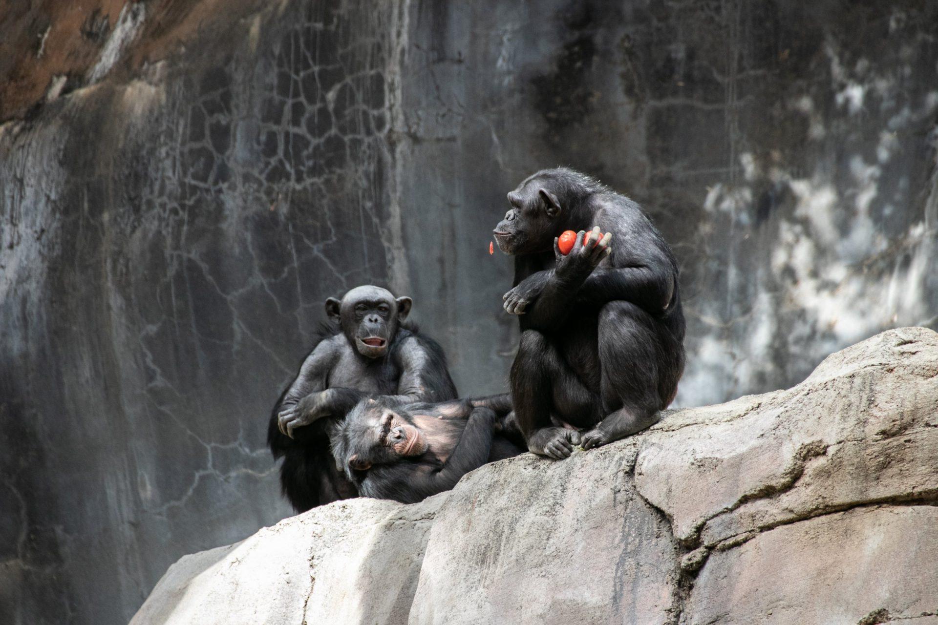 Three Apes Sitting On Big Rock