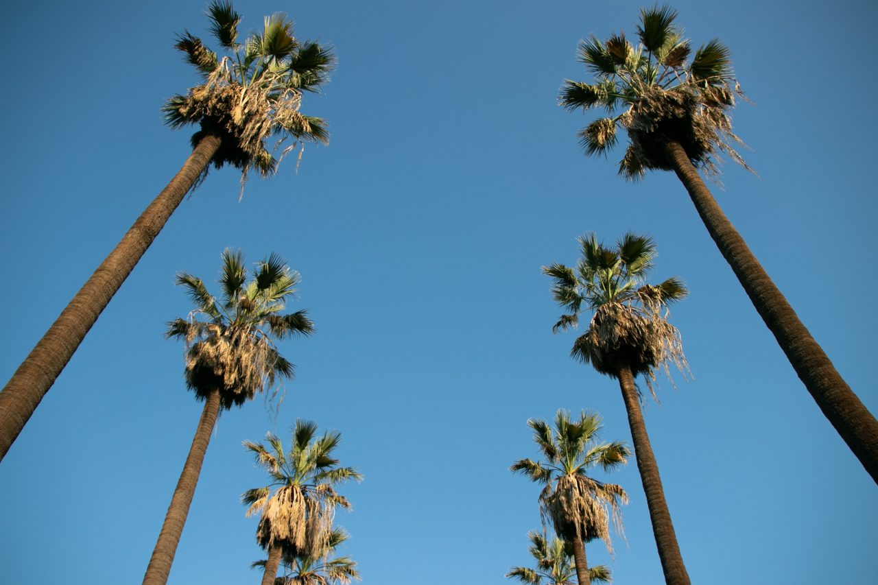 Two Palm Tree Rows Against Blue Sky