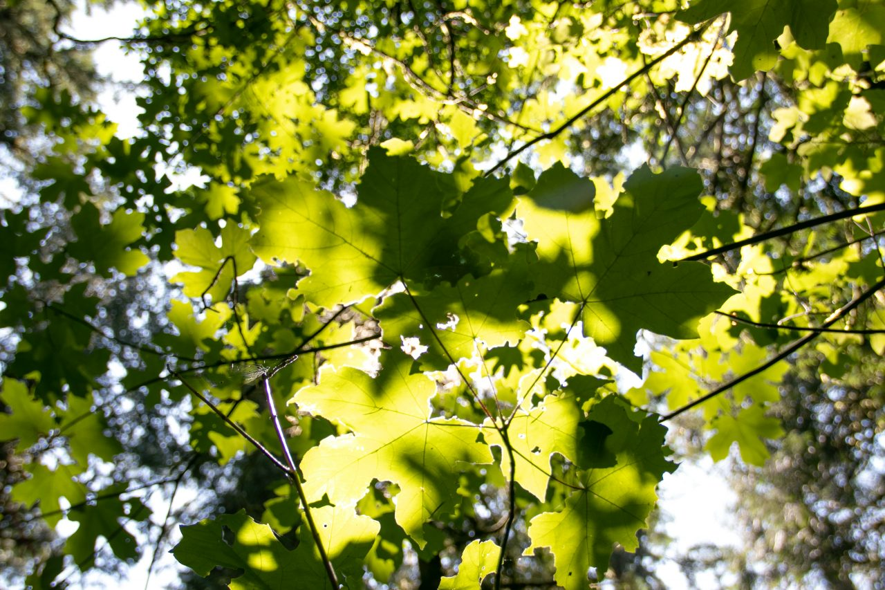 Leaves Lit By Sunlight Through Foliage