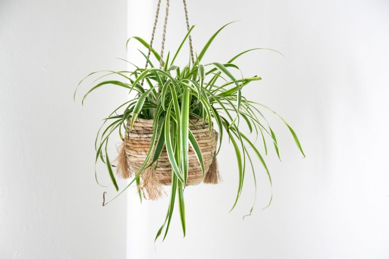Spider Plant In Hanging Planter