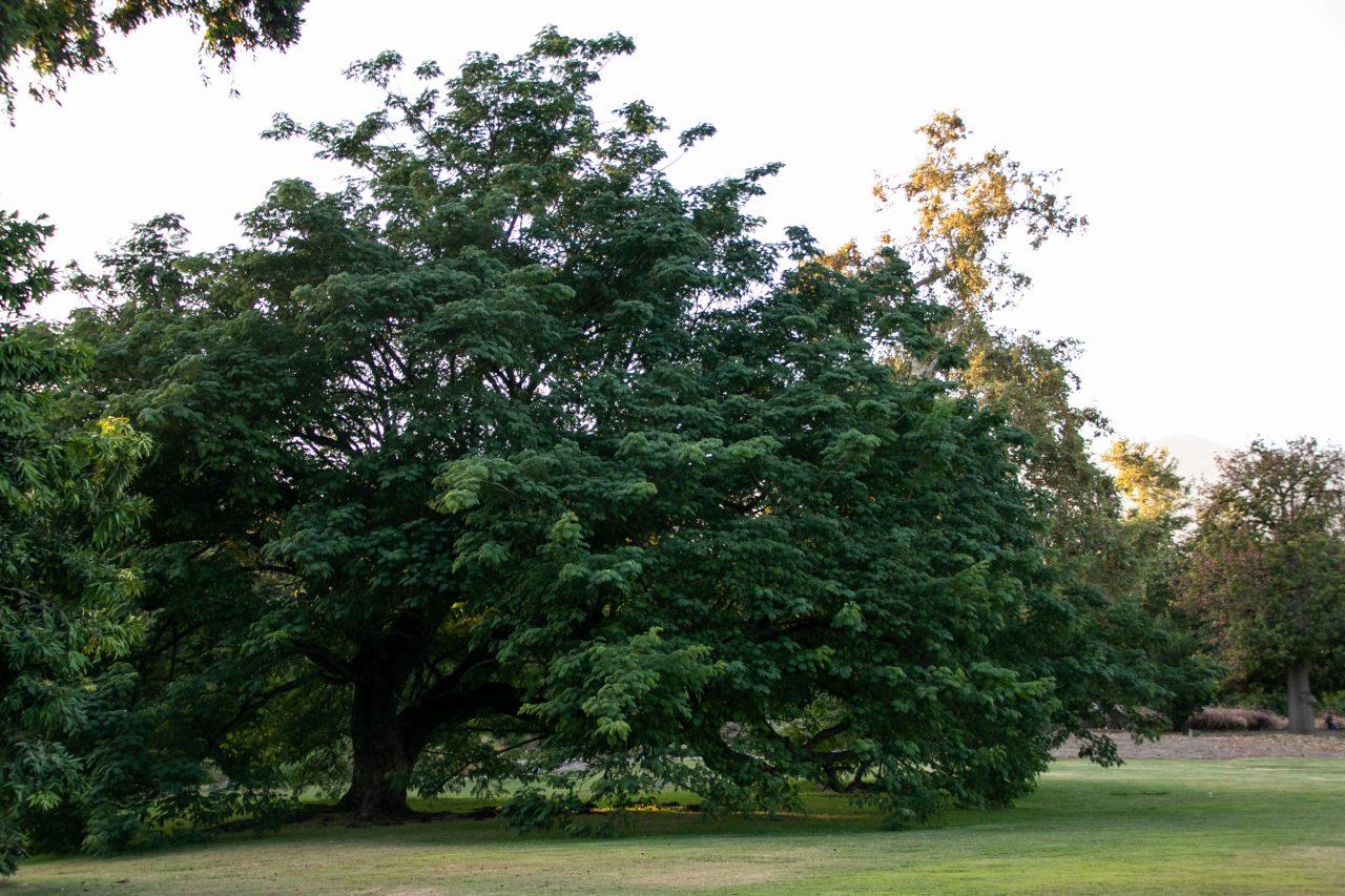 Massive Tree On Grassy Park Grounds