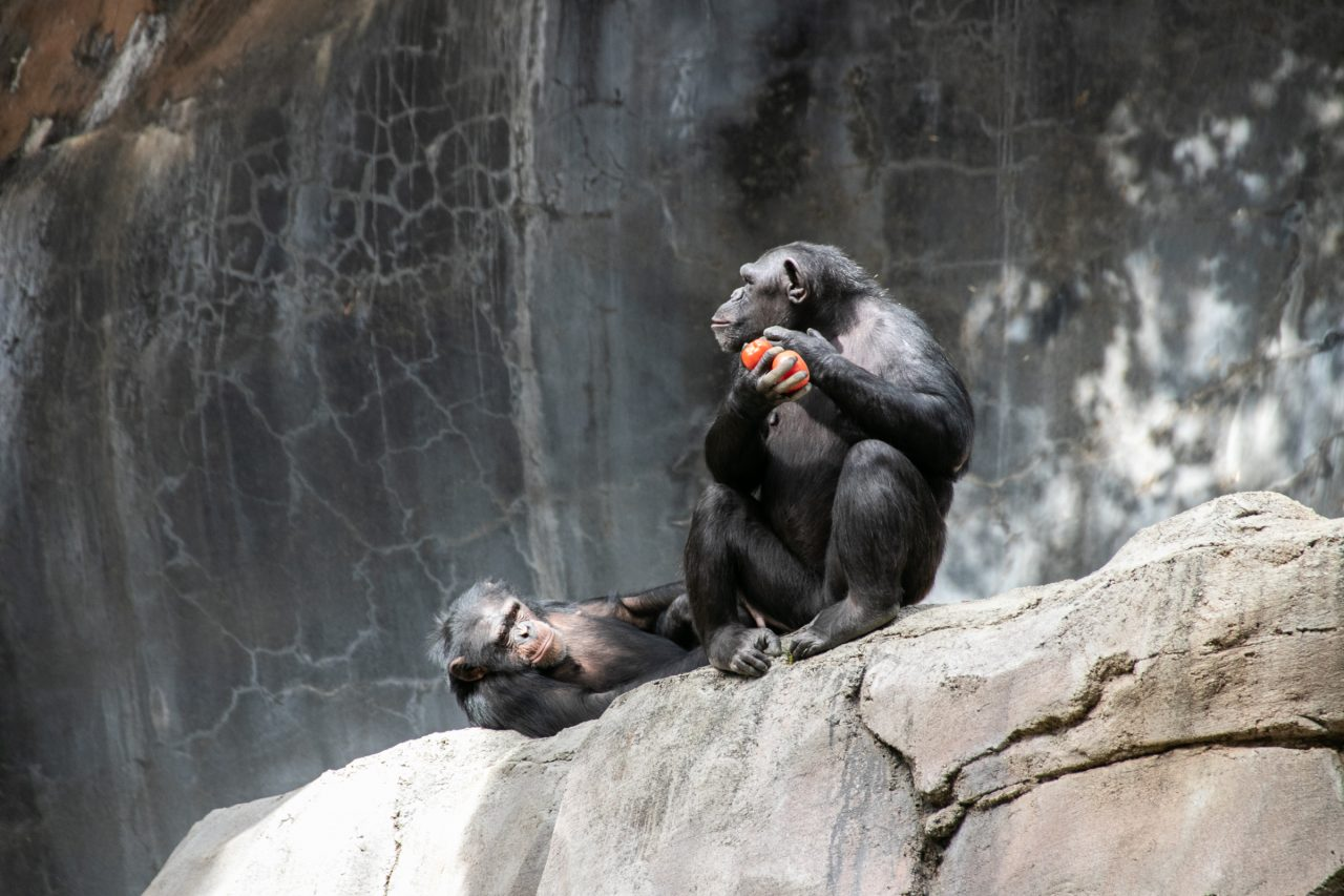 Two Apes Resting On Big Rock