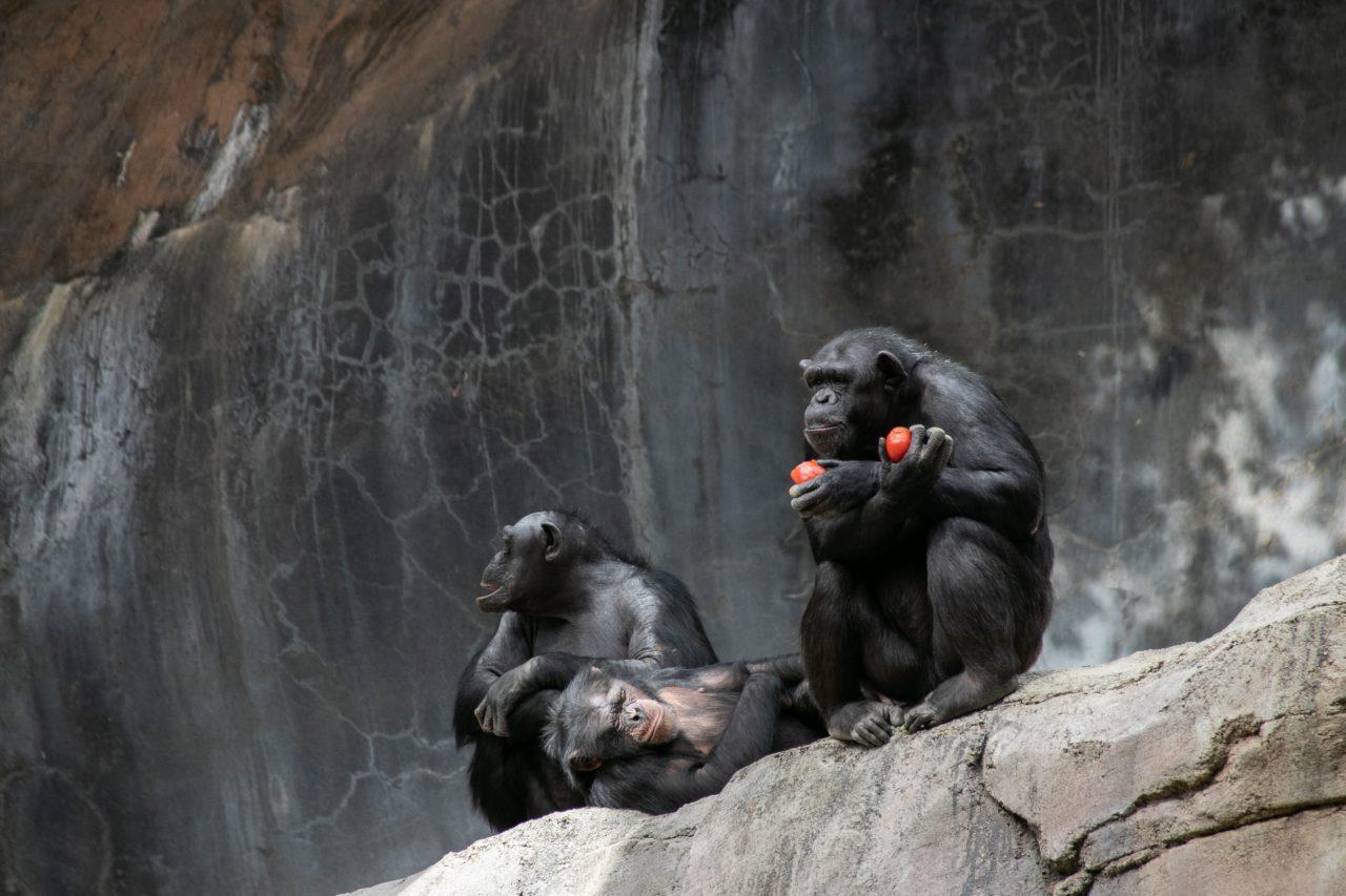 Three Apes Sitting On Rock