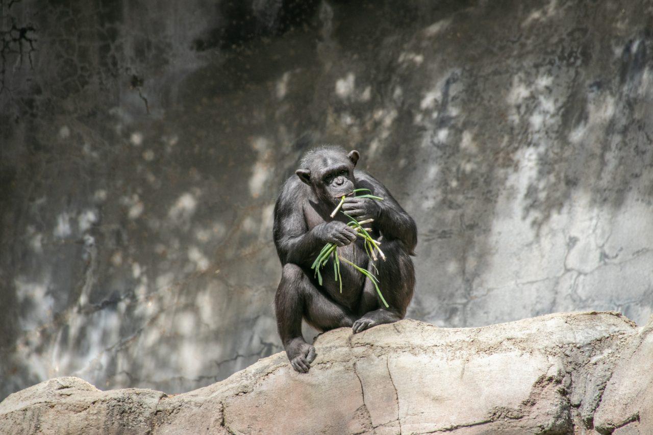 Ape Eating Green Plant Stems On Rock