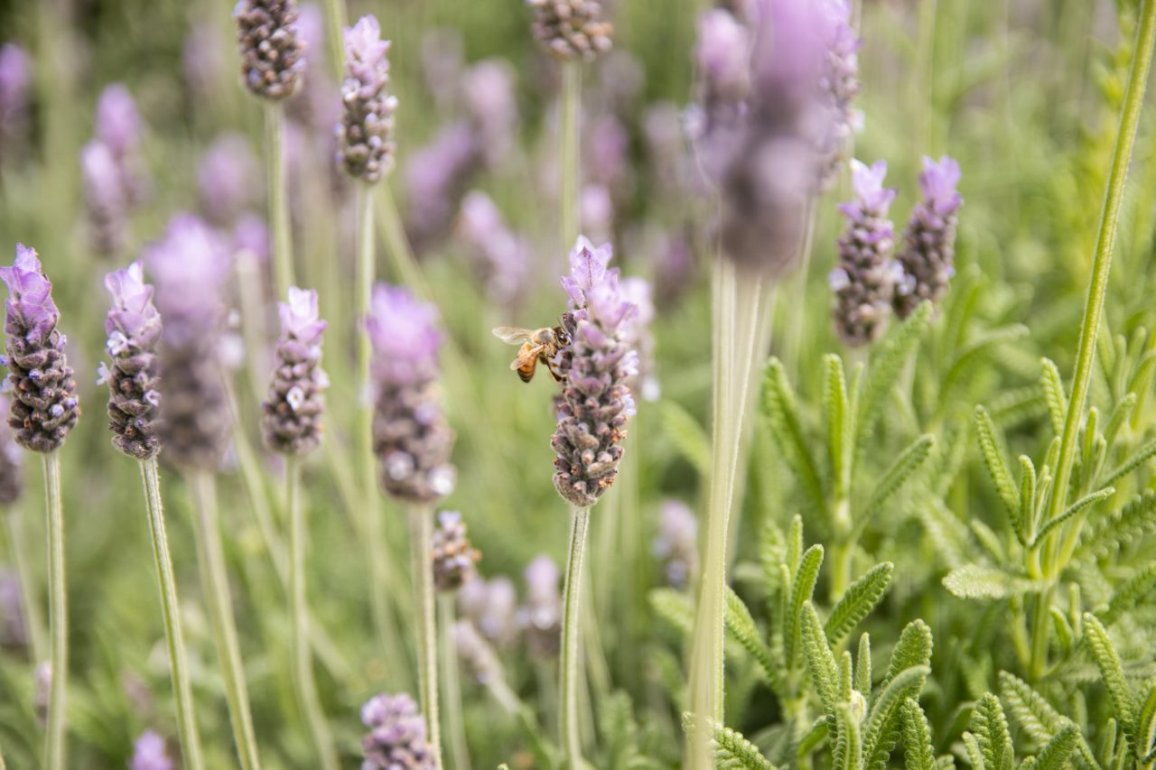 Bee On Lavender Plant