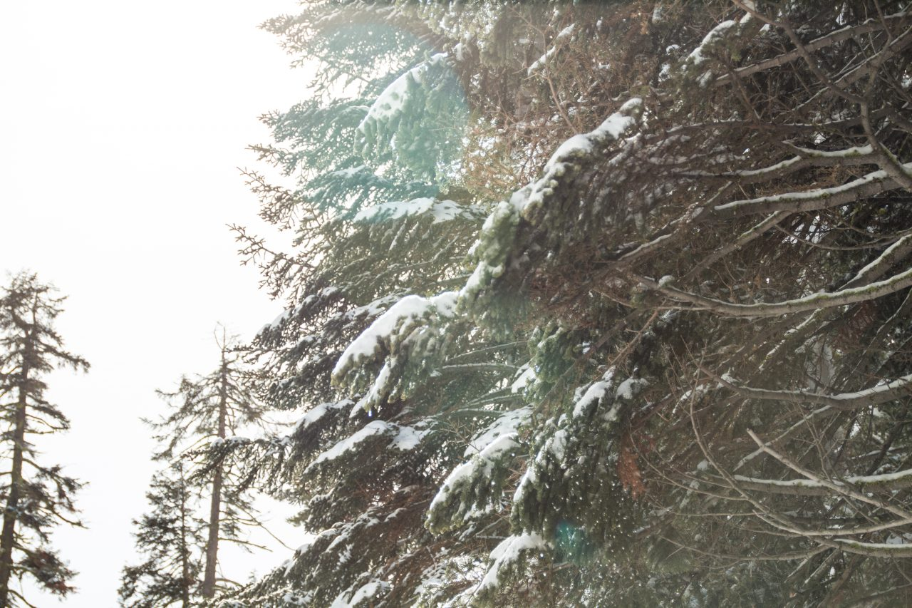 Snow On Conifers Branches