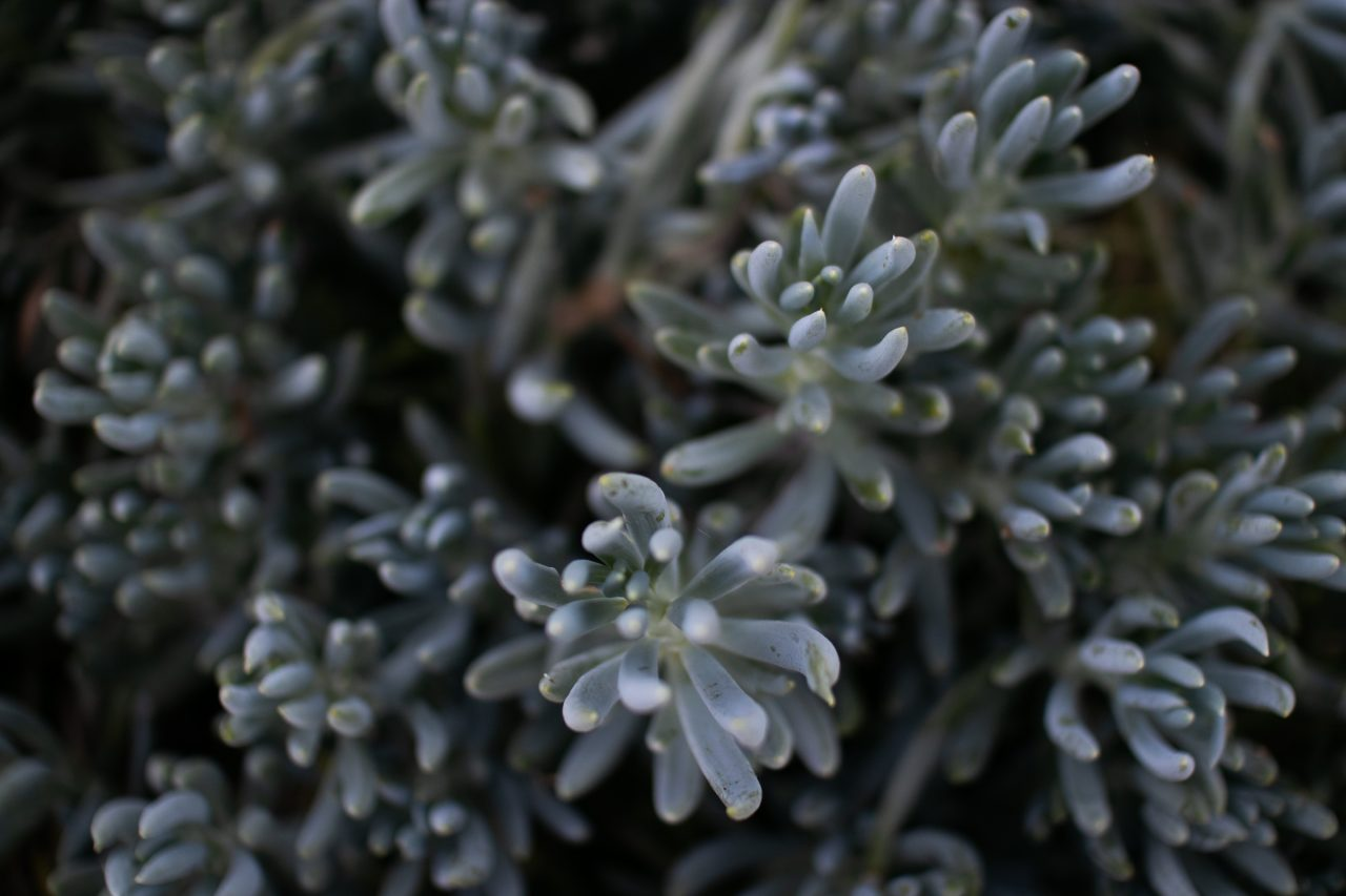 Succulent With Long Thick Leaves
