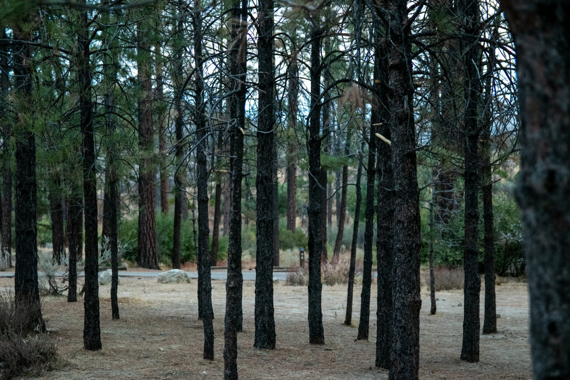 Thin Coniferous Trees In Woods