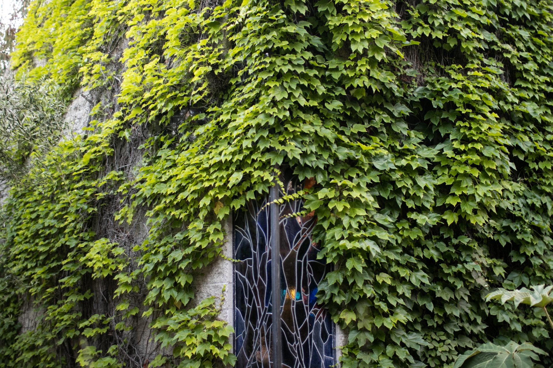 Vines Growing On Building With Stained Glass Window