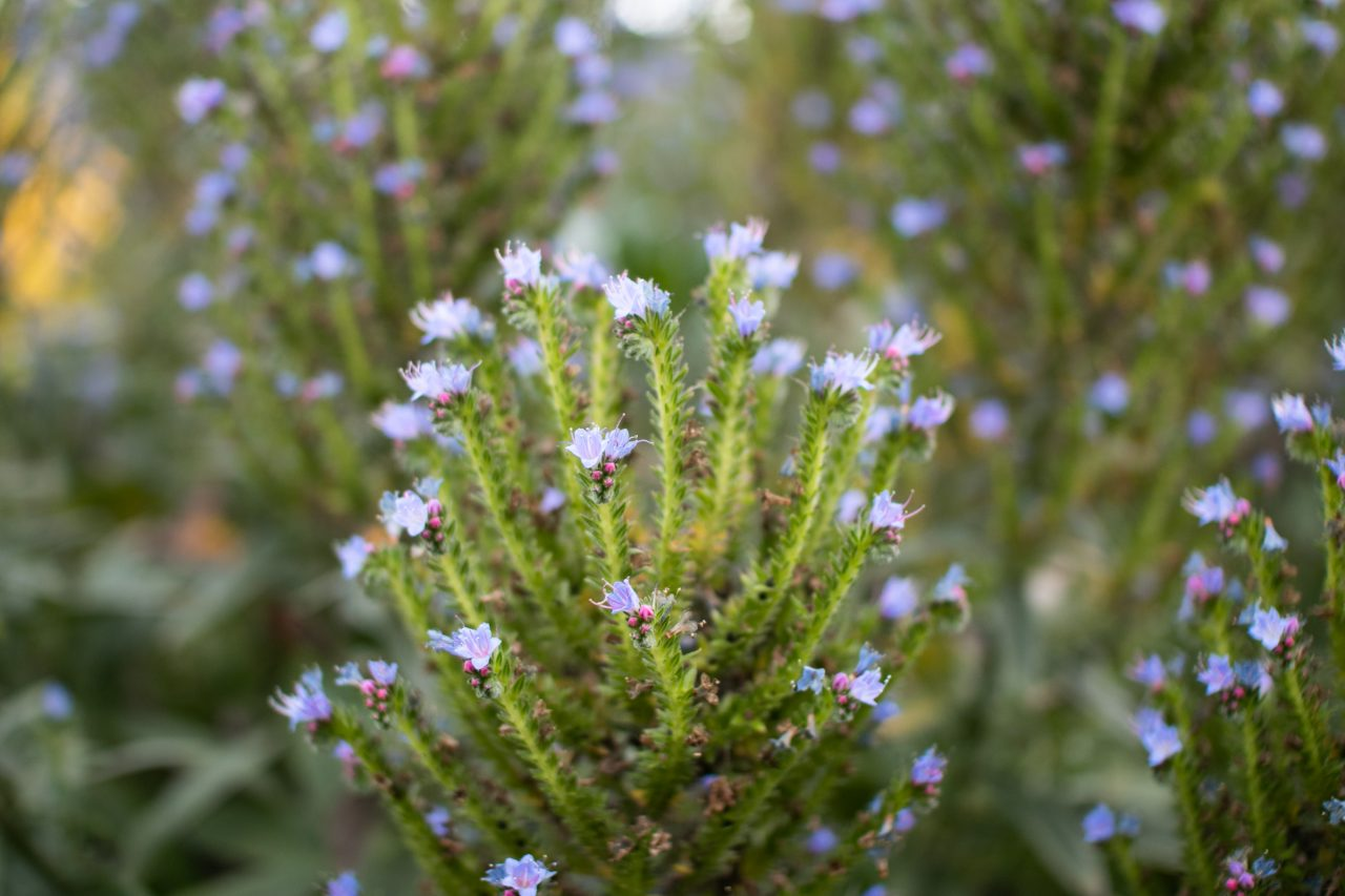 Close Up Of Plant With Purple Flowers