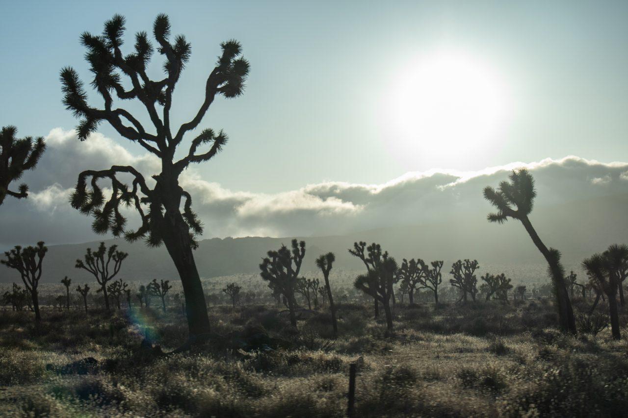 Sun Close To Setting Beyond Joshua Trees